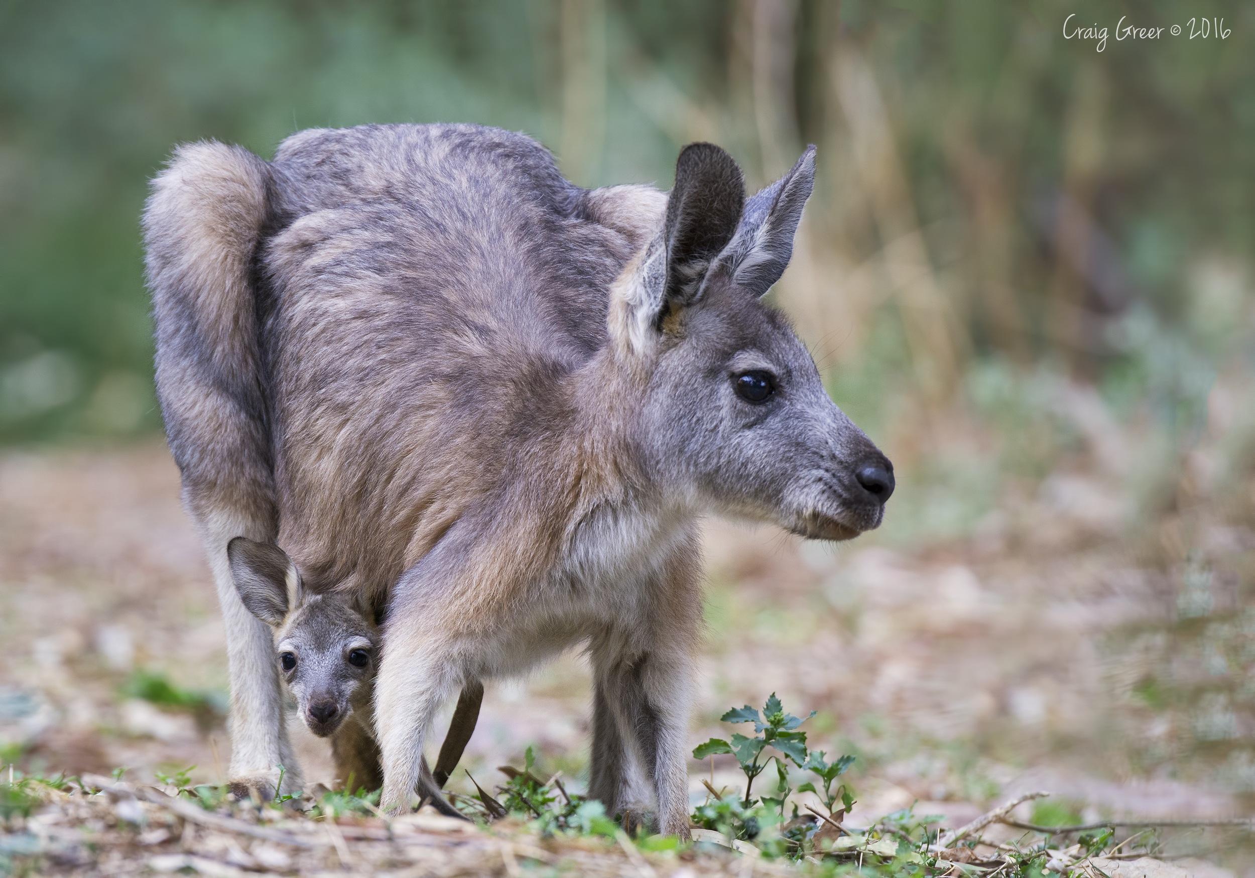 Kangaroo-joey-Mambray-Creek-30-04-16.jpg