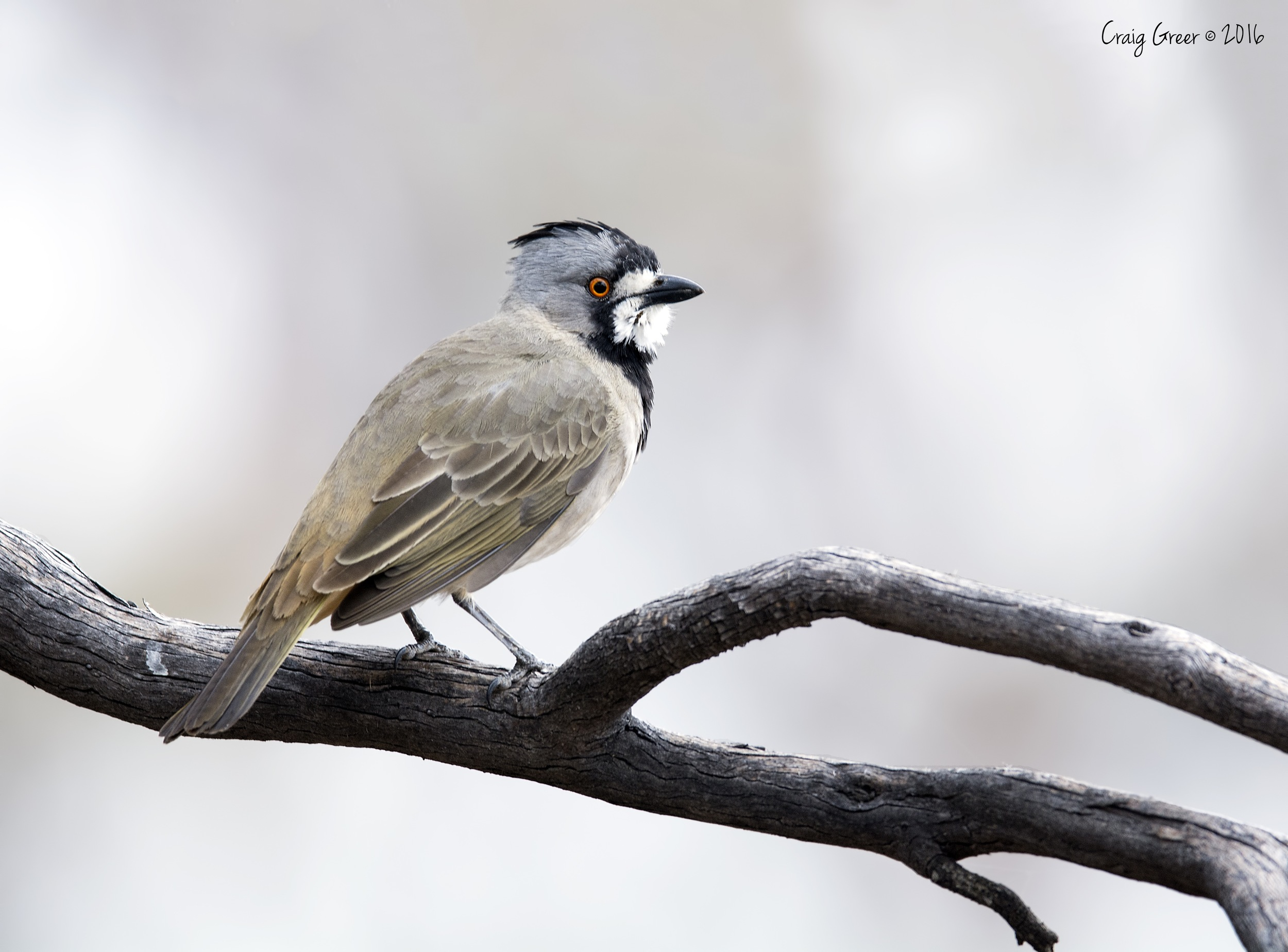 Crested Bellbird | Brookfield CP