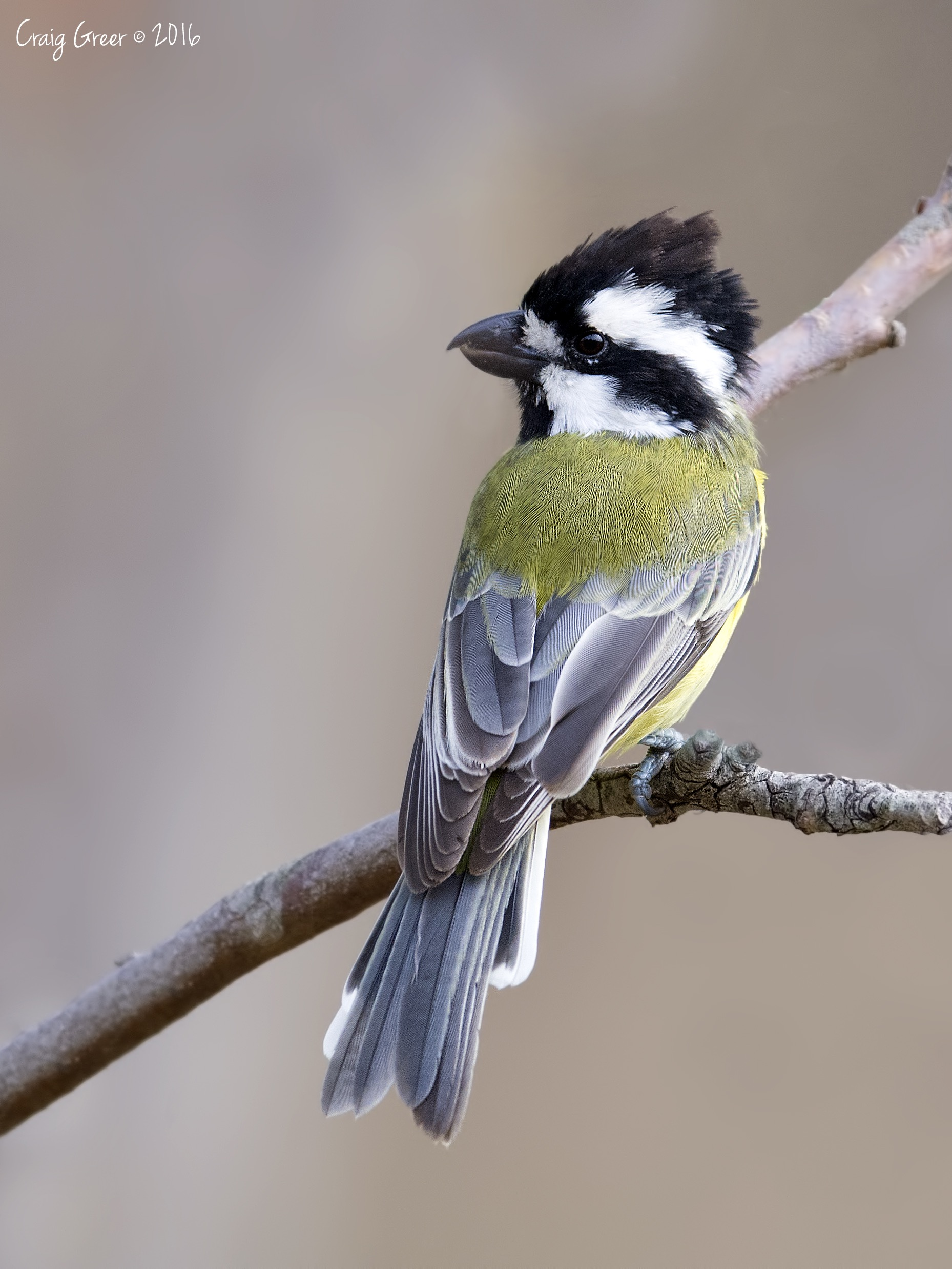 Crested Shrike-tit | Harrogate