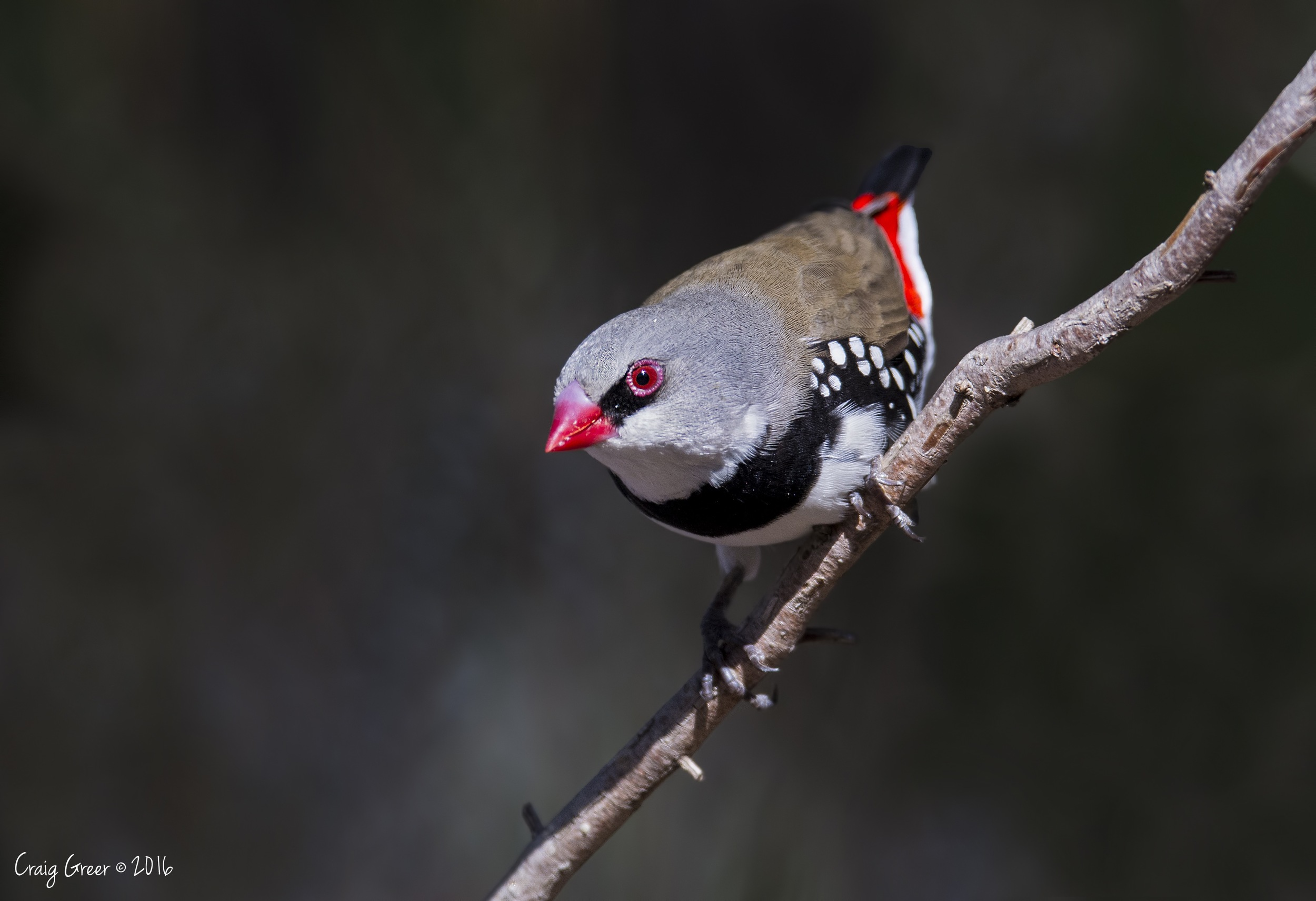 Diamond Firetail | Brown's Rd