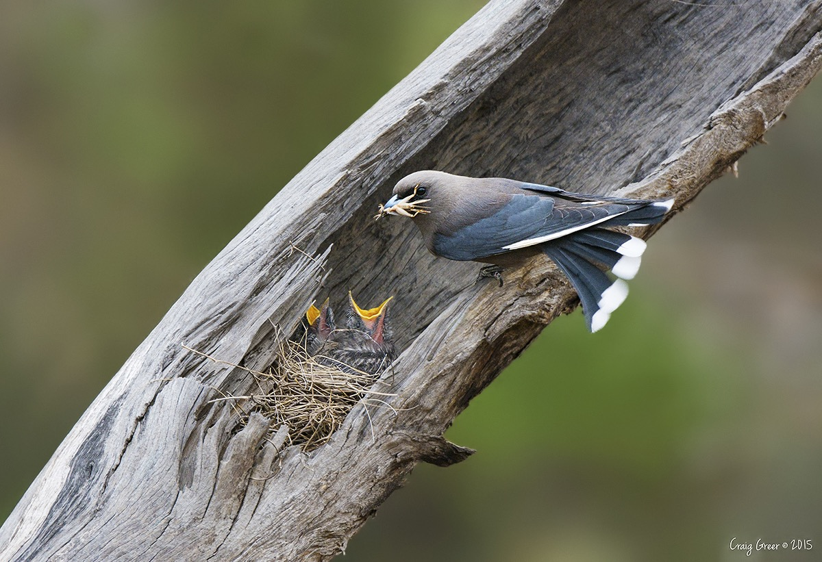 Dusky Woodswallow | Pengilly Scrub