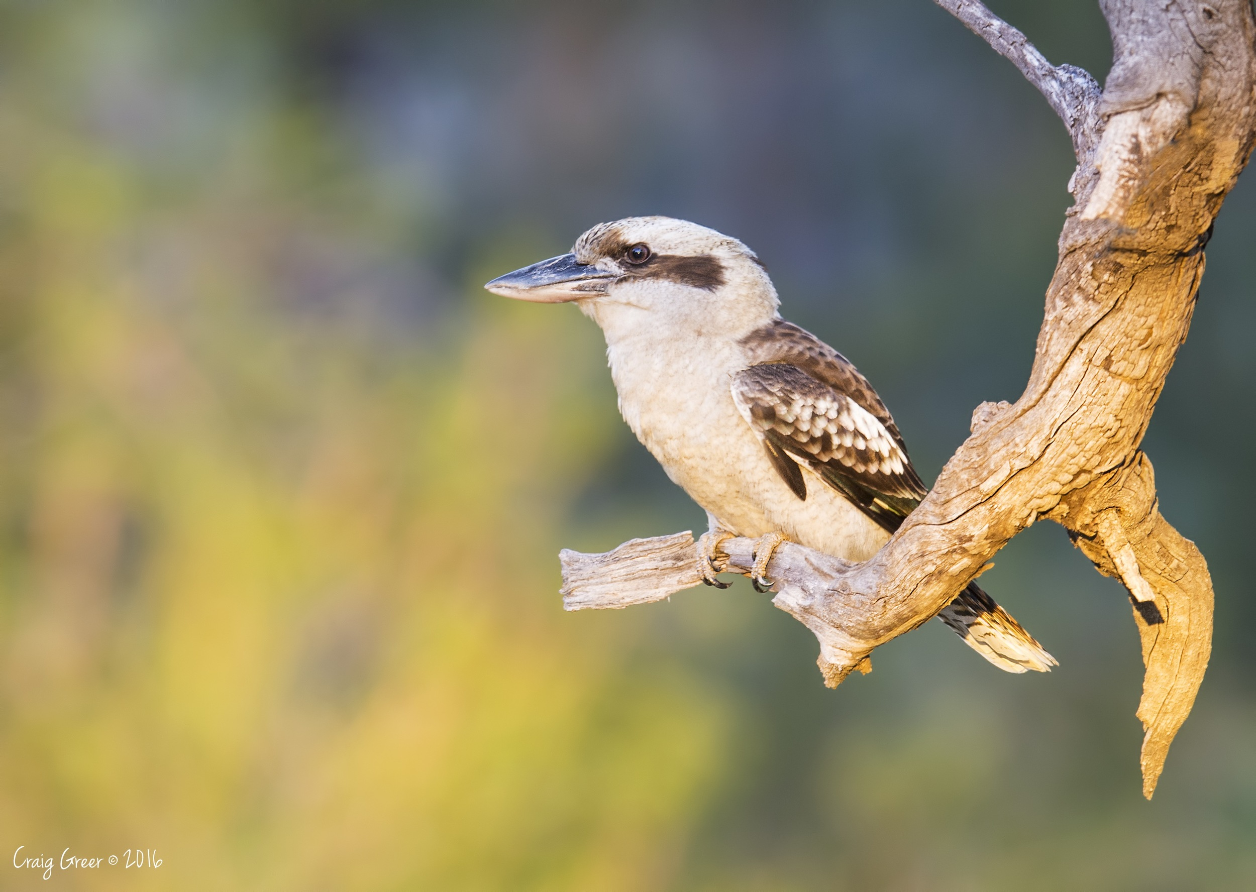 Laughing Kookaburra | Mambray Creek