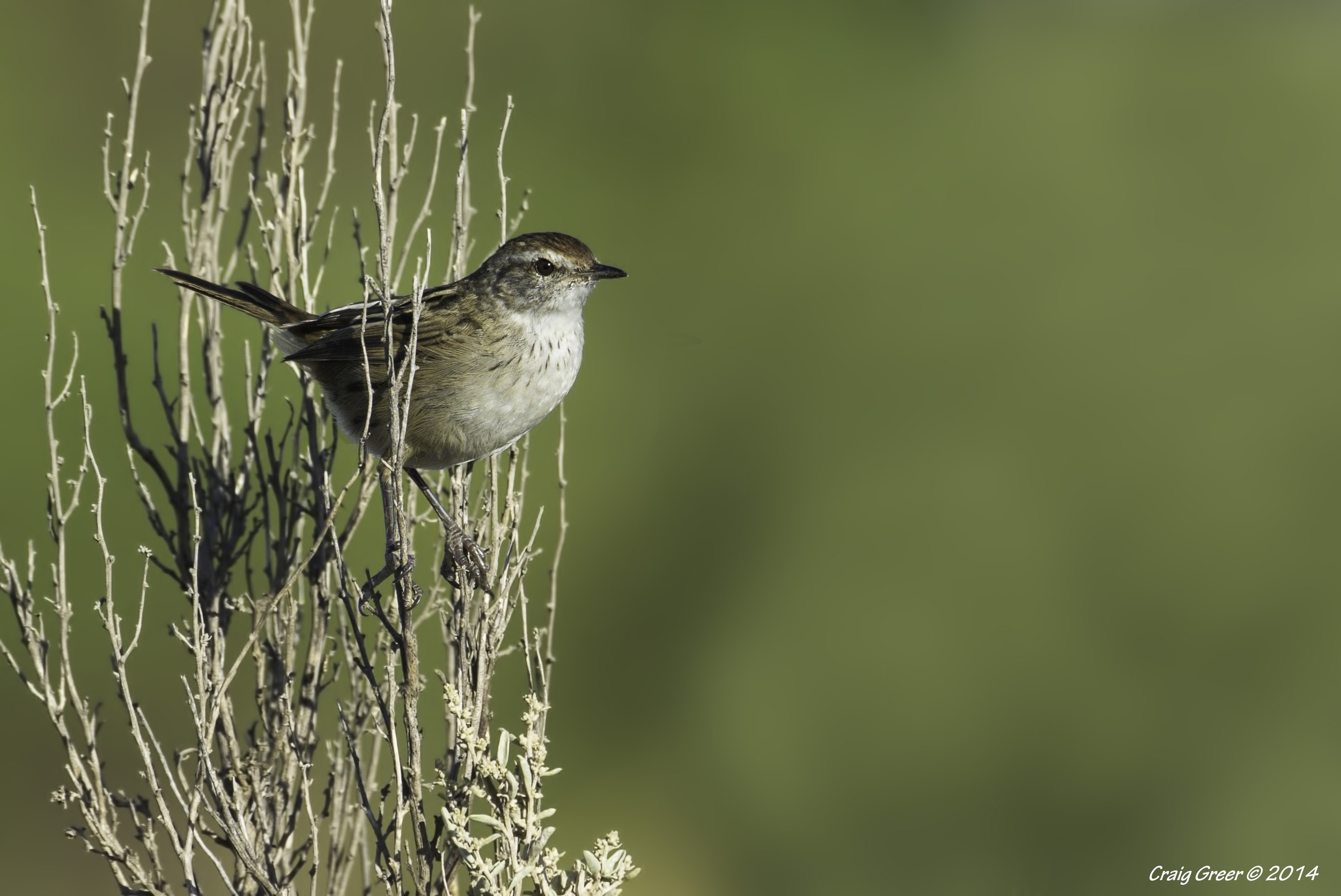 Little Grassbird | Whicker Rd Wetlands
