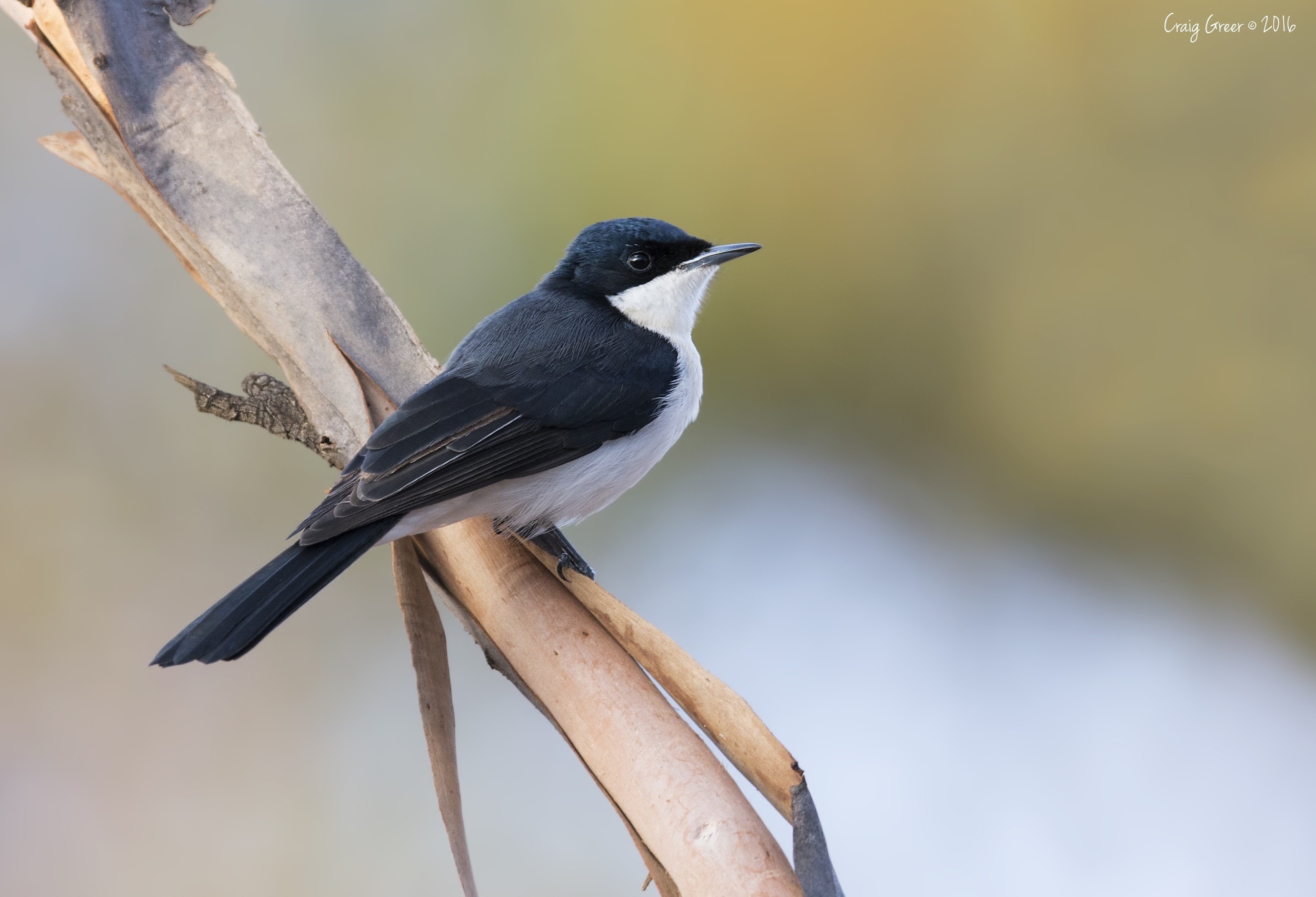Restless Flycatcher | Brookfield CP