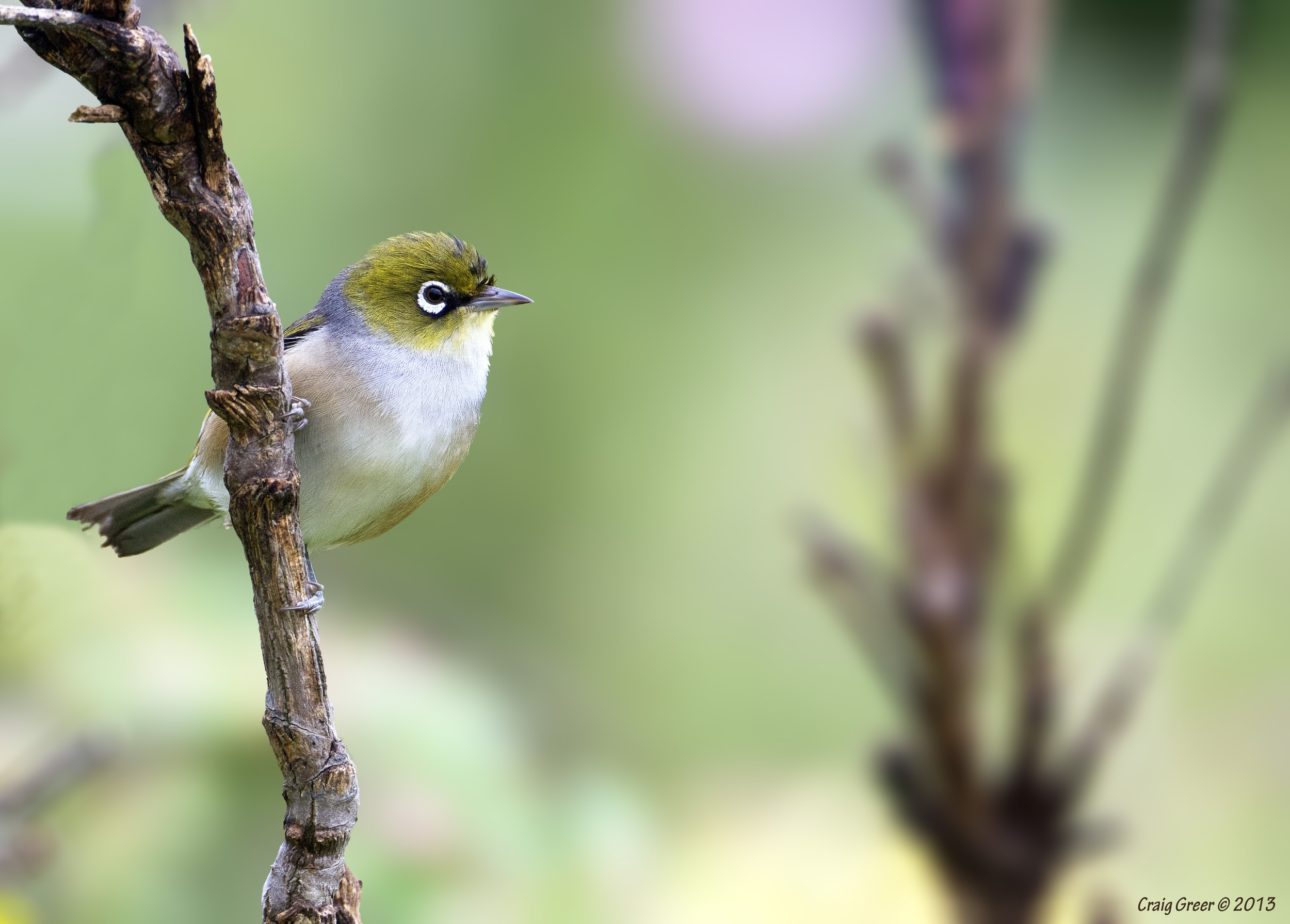 Silvereye | East Launceston