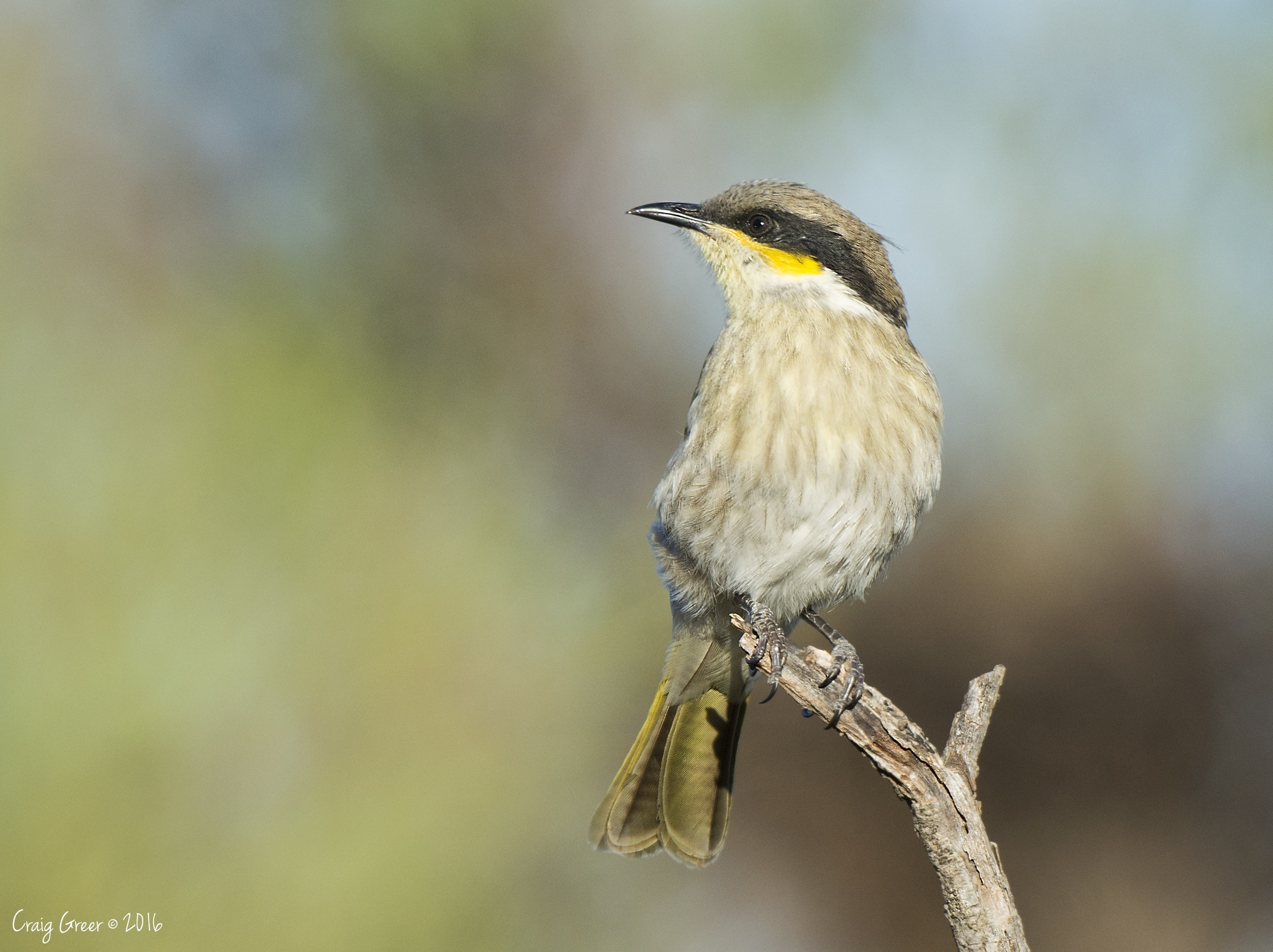 Singing Honeyeater | Mambray Creek