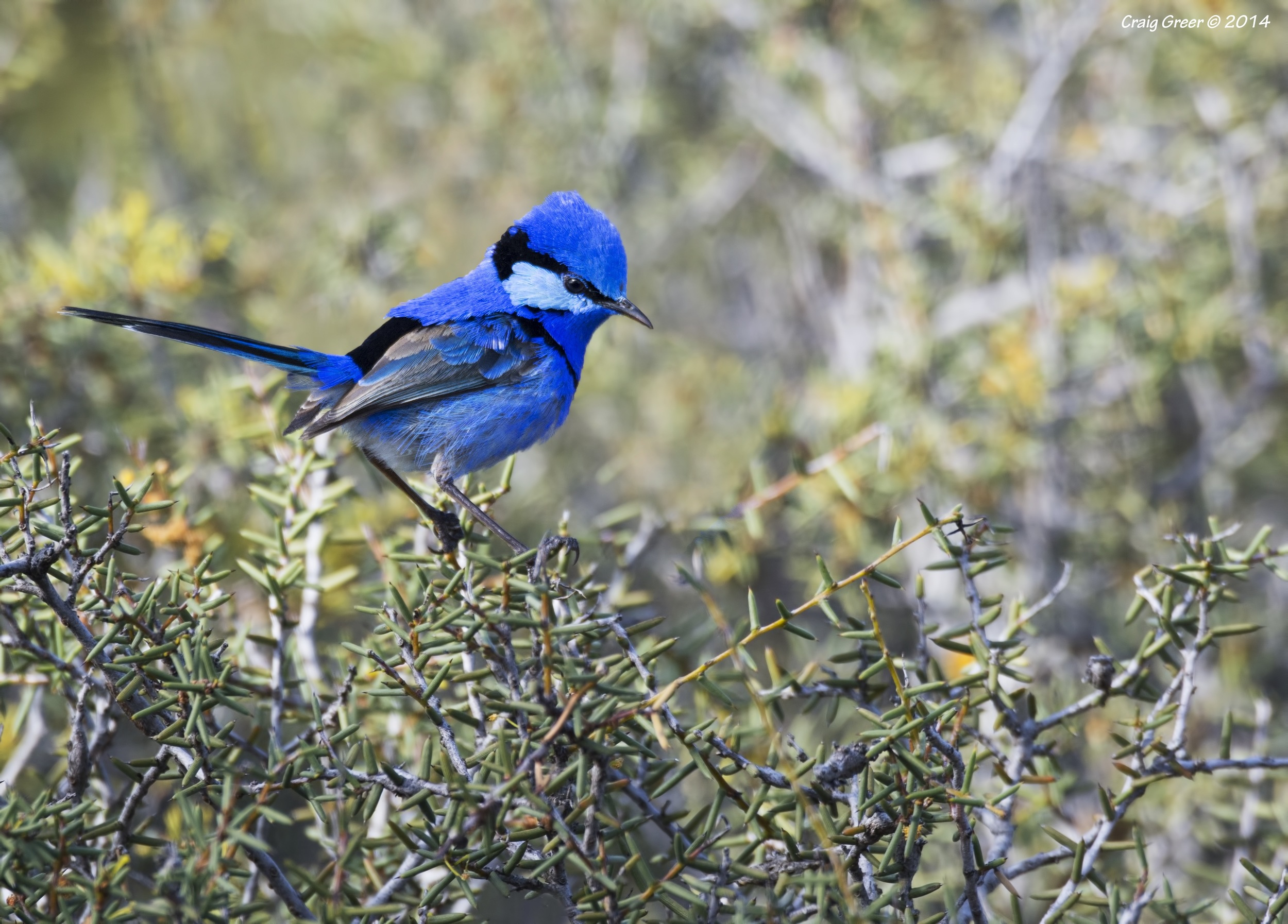 Splendid Fairy-wren | Brookfield CP