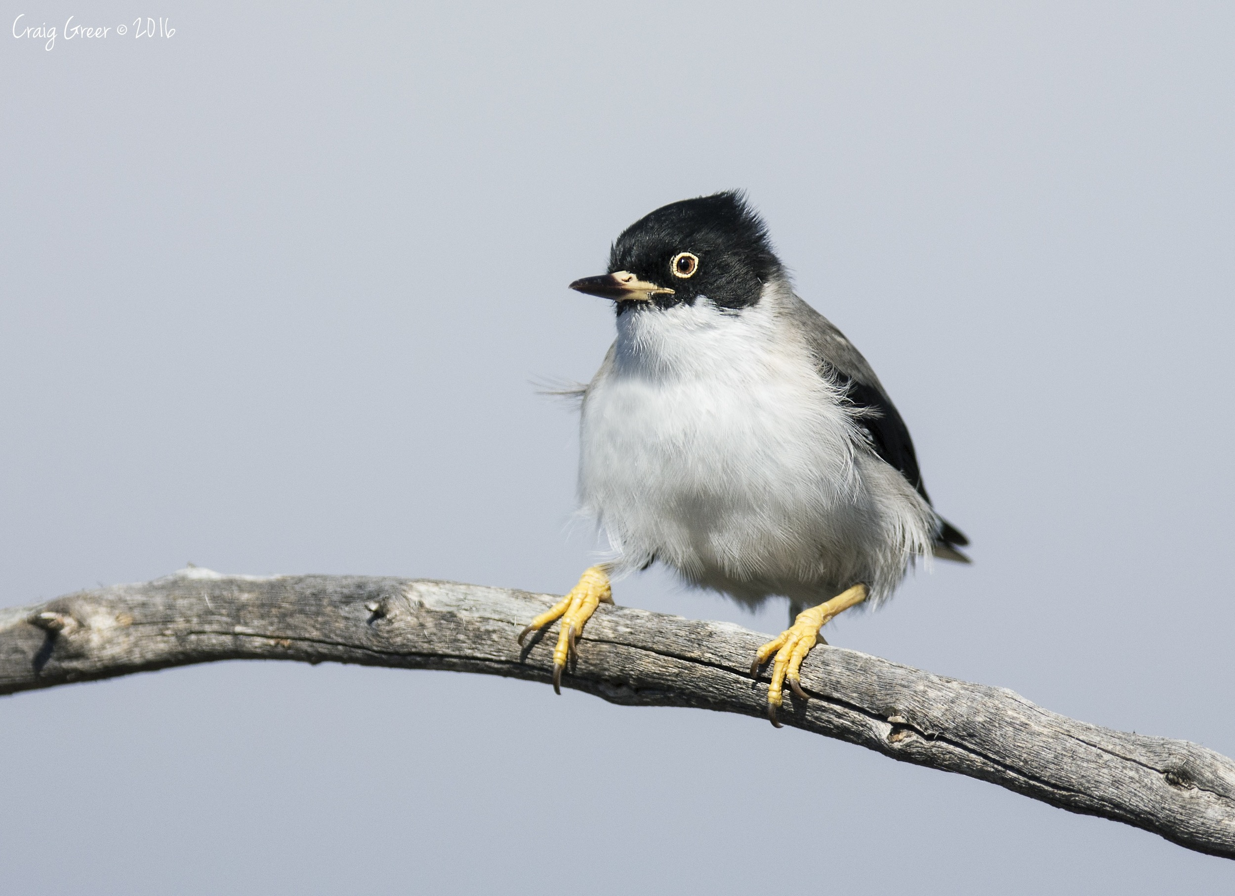 Varied Sittella | Brookfield CP