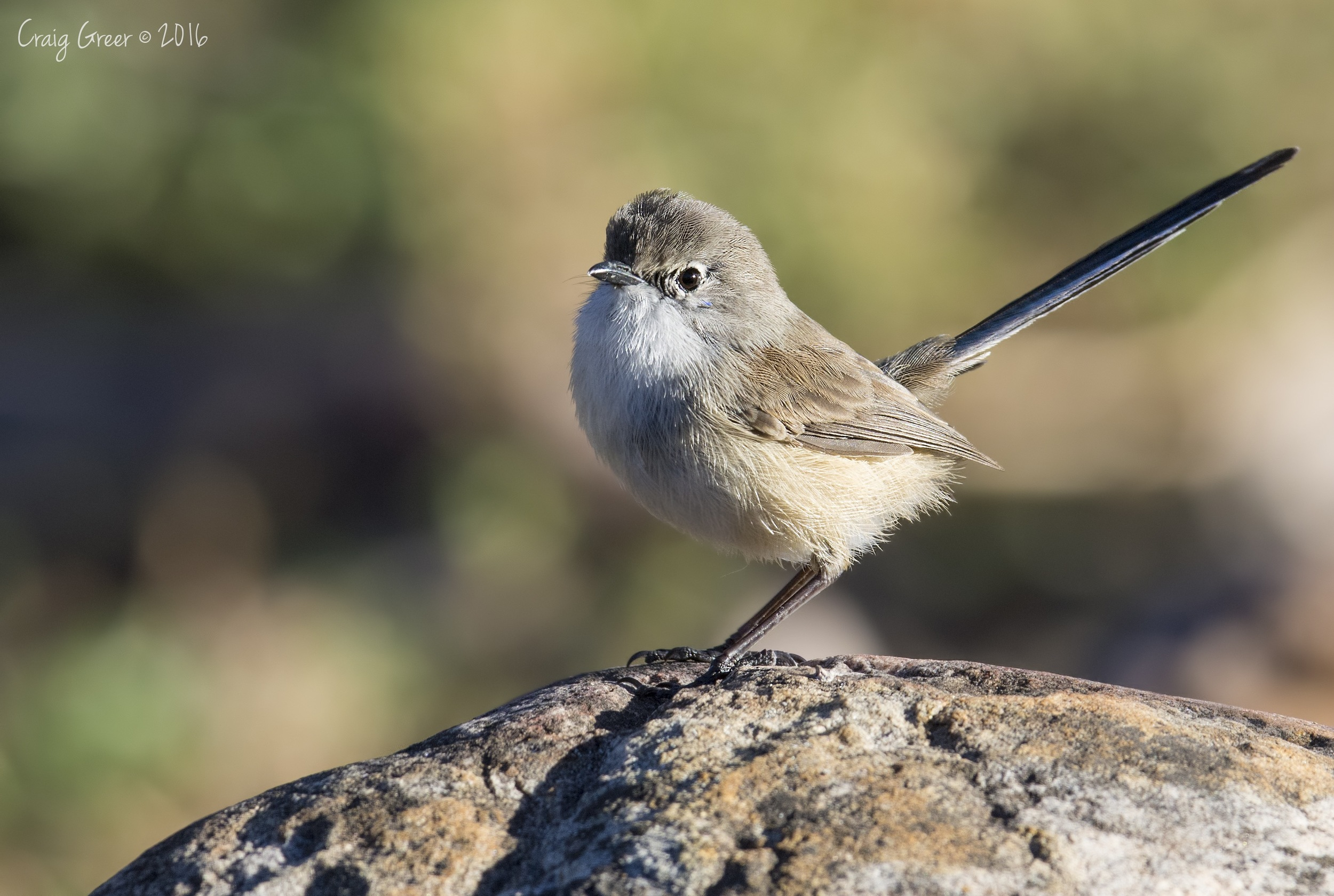 Variegated Fairy-wren | Mambray Creek