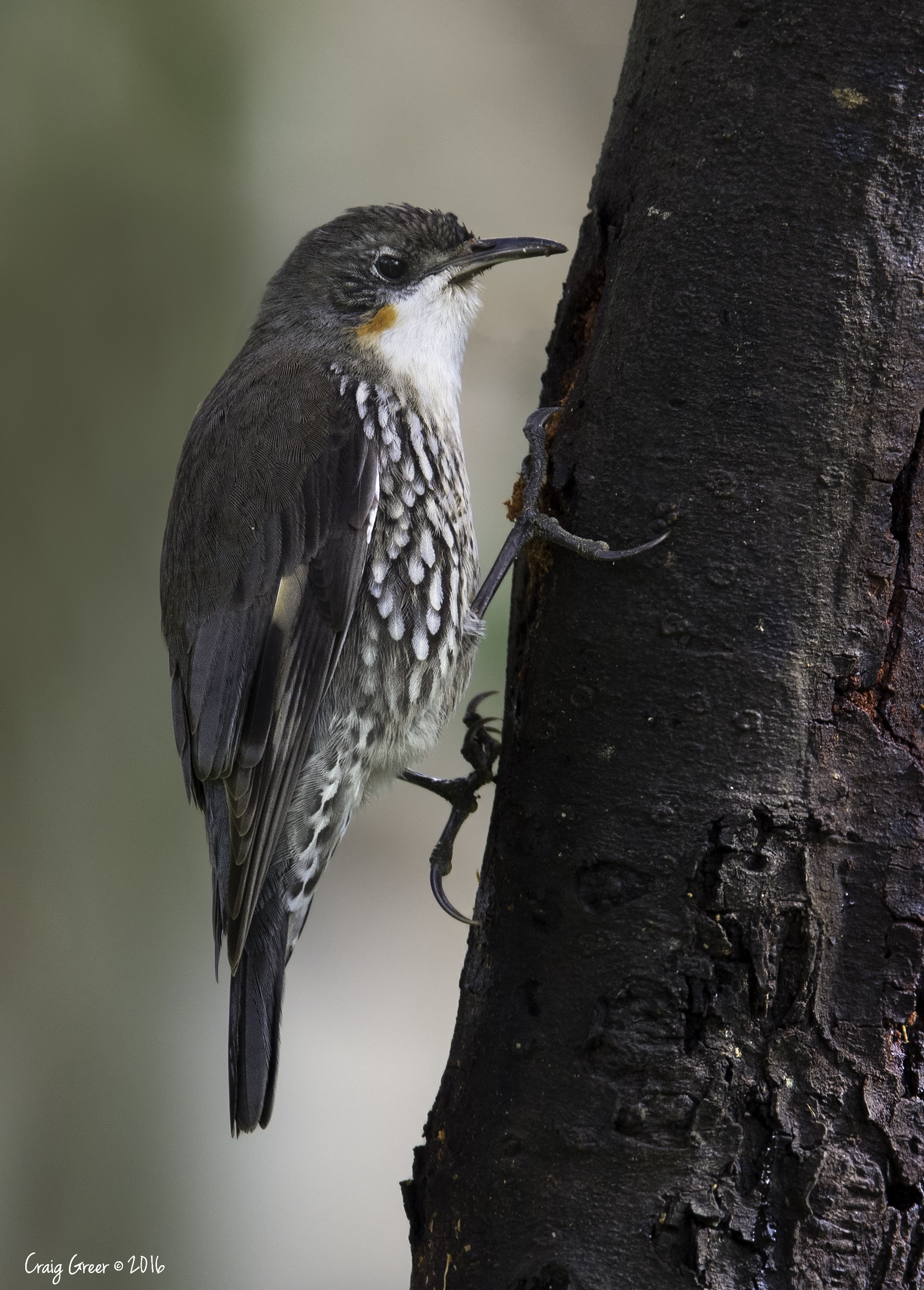White-throated Treecreeper | Scott Creek CP