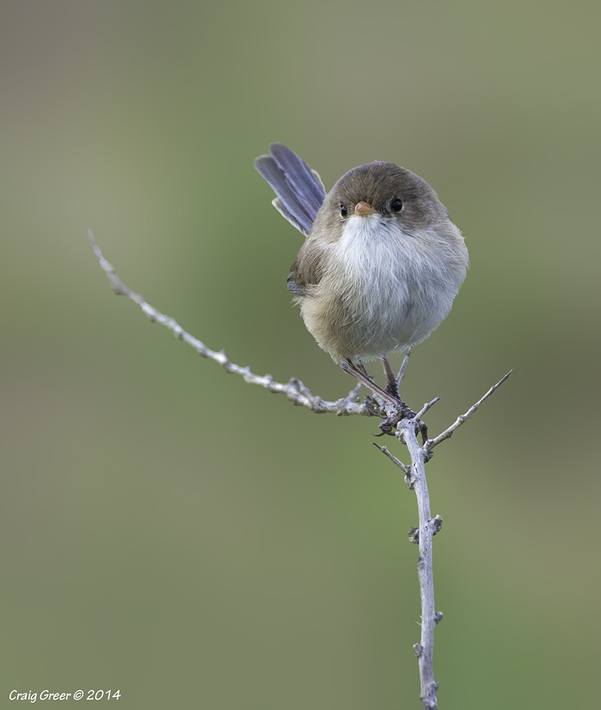 White-winged Fairy-Wren | White's Rd Wetlands