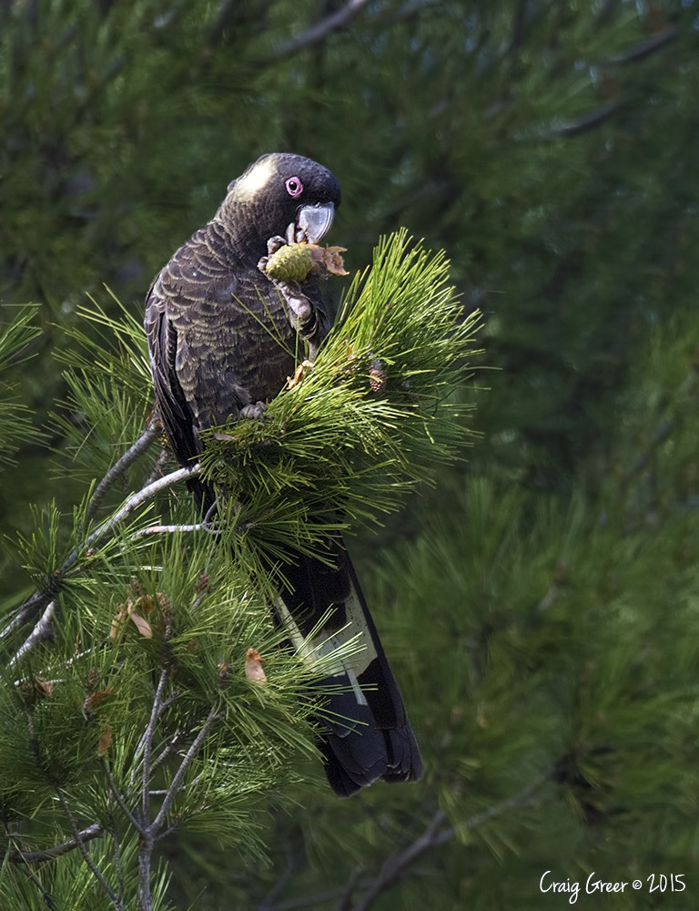 Yellow-tailed Black Cockatoo | Flinders University