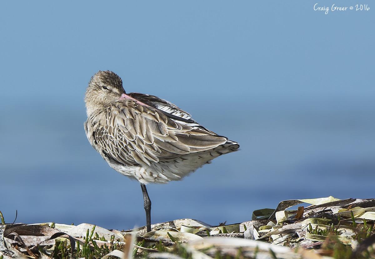 Bar-tailed Godwit   Bald Hill Beach