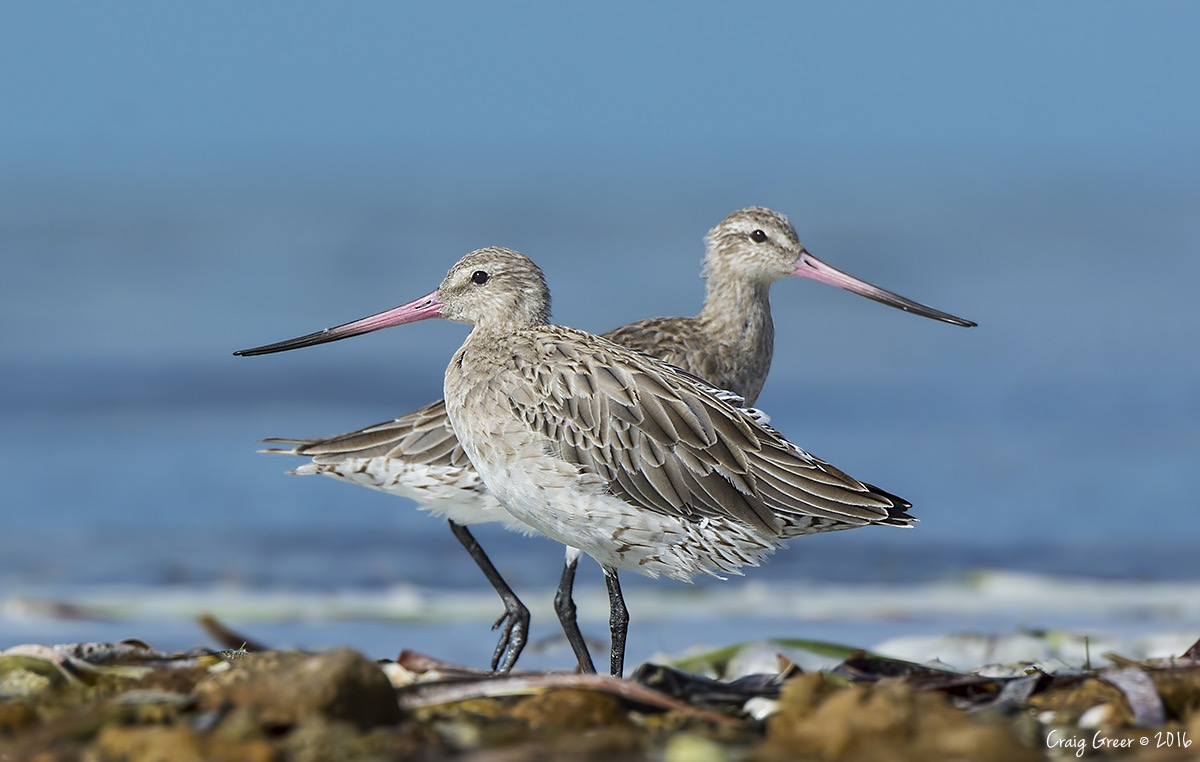 Bar-tailed Godwits   Bald Hill Beach