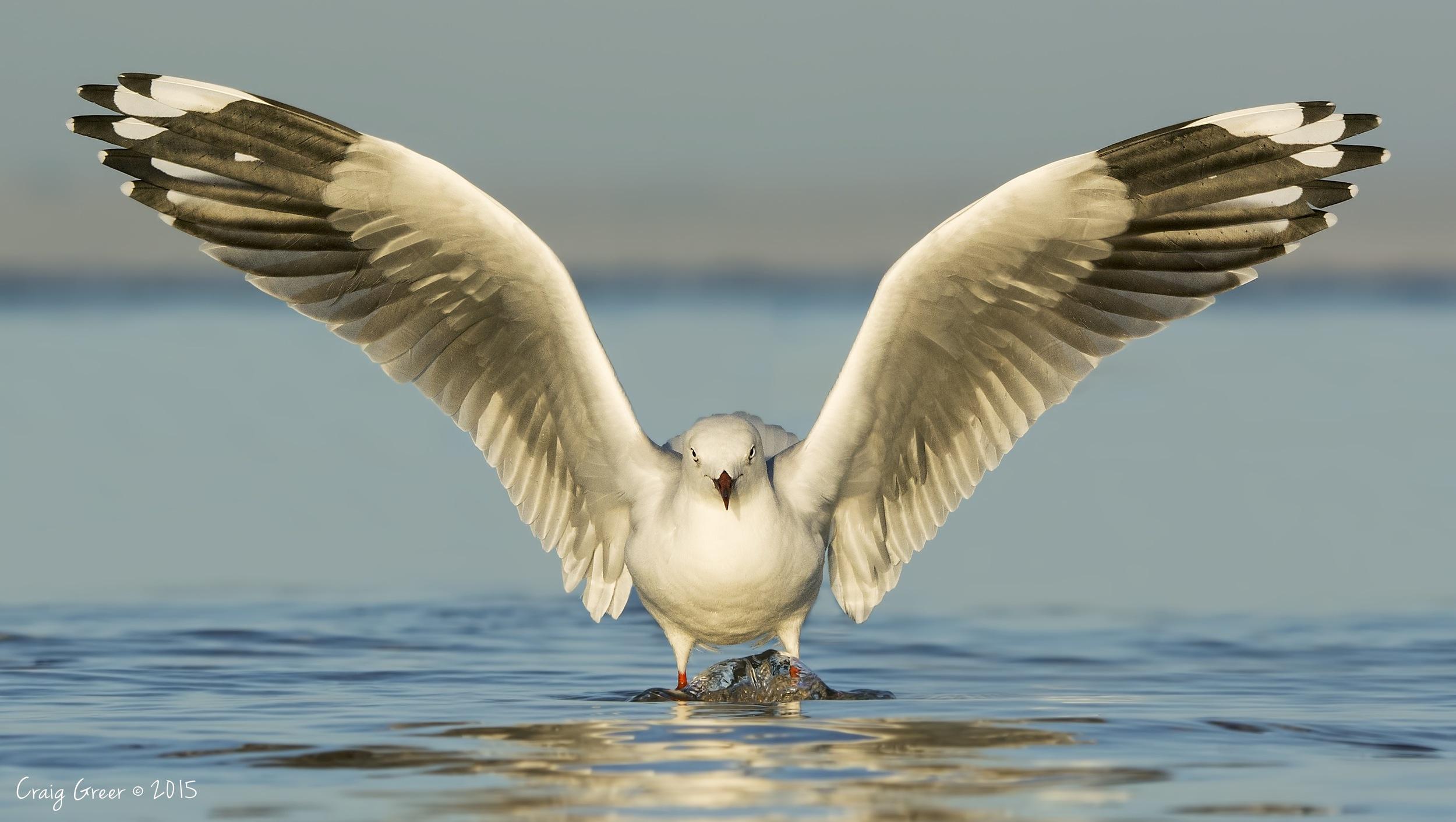 Silver Gull   Bald Hill Beach