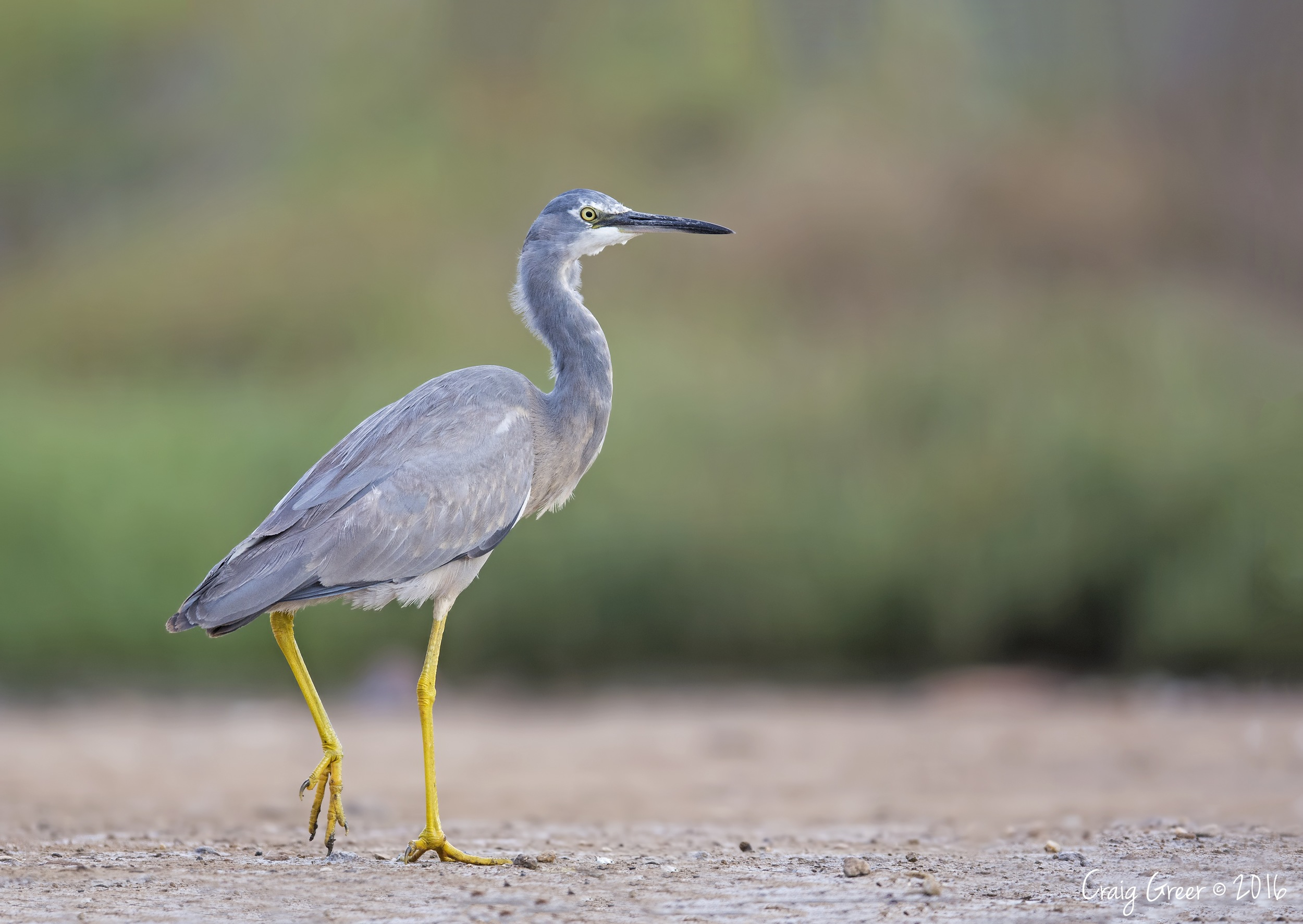 White-faced Heron | Whicker Rd Wetlands
