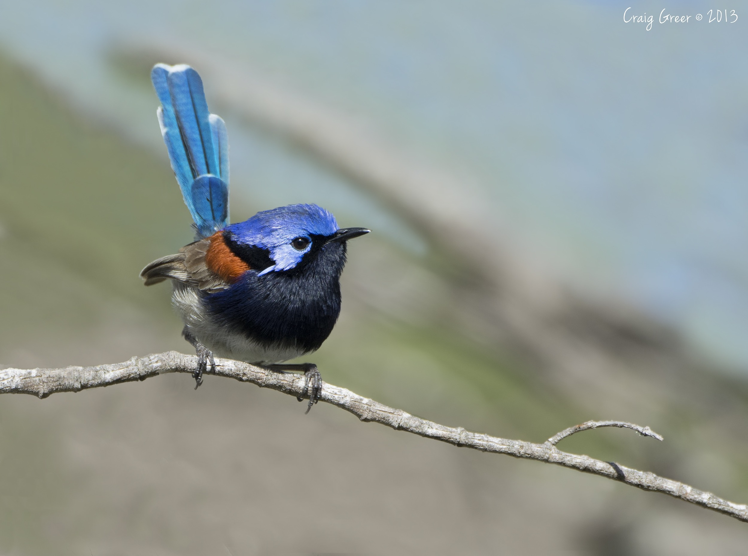 Blue-breasted Fairy-wren | Coffin Bay NP