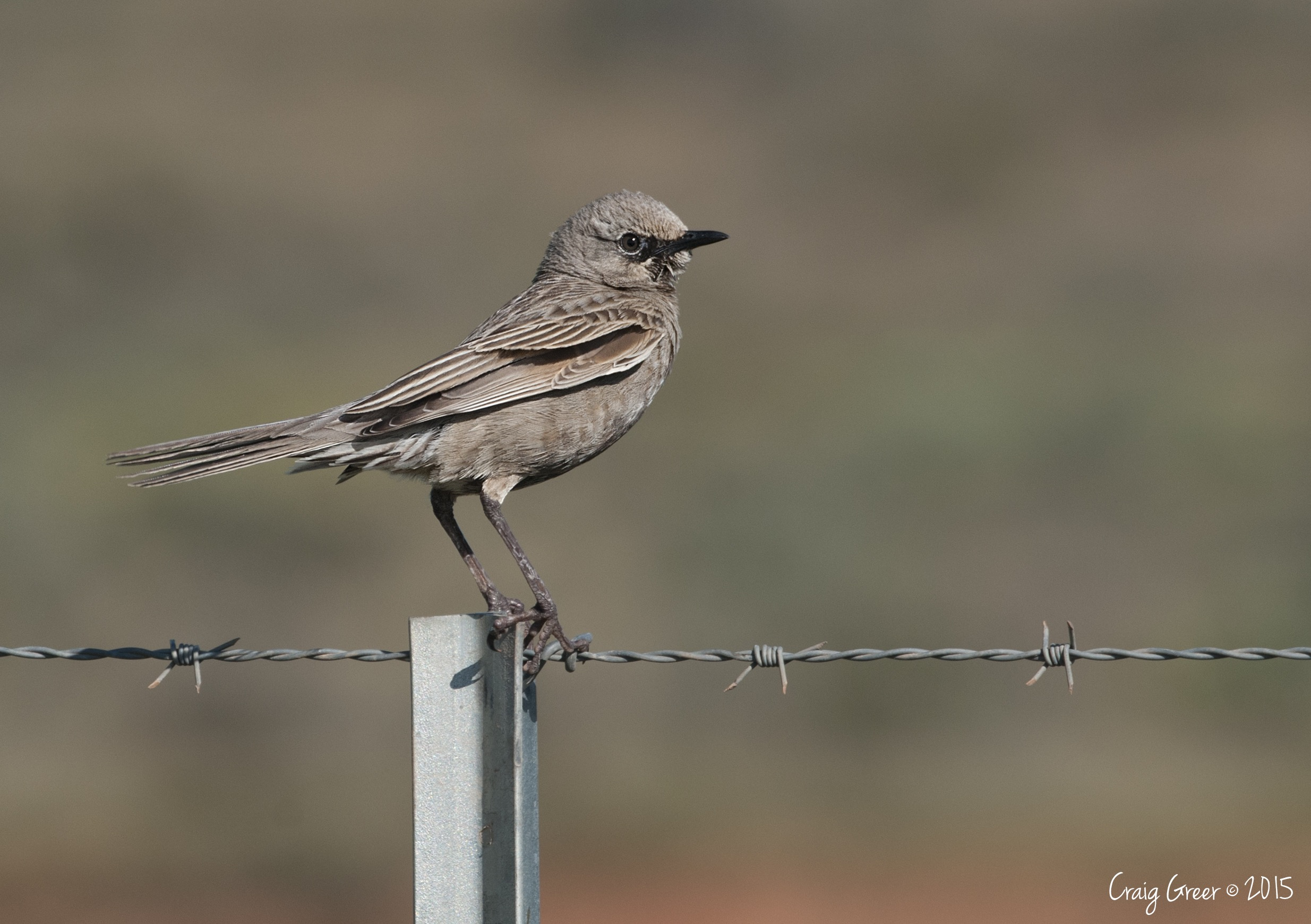 Brown Songlark | Redbanks CP
