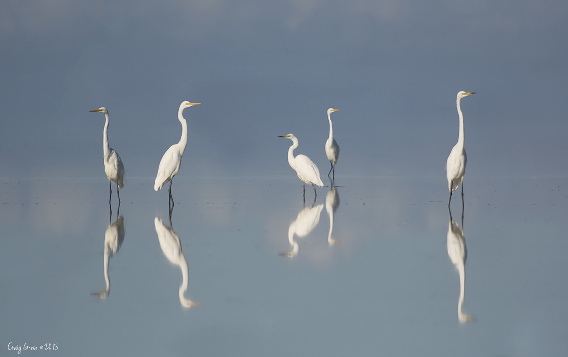 The Egrets of Bald Hill