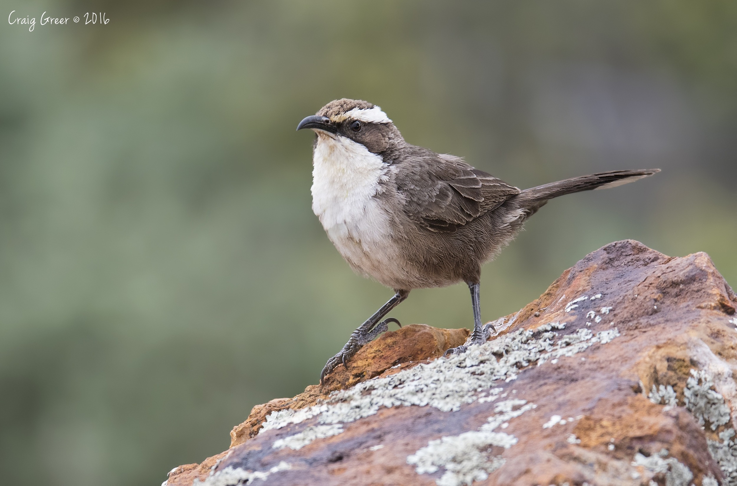 White-browed Babbler | Arid Lands Botanic Gardens