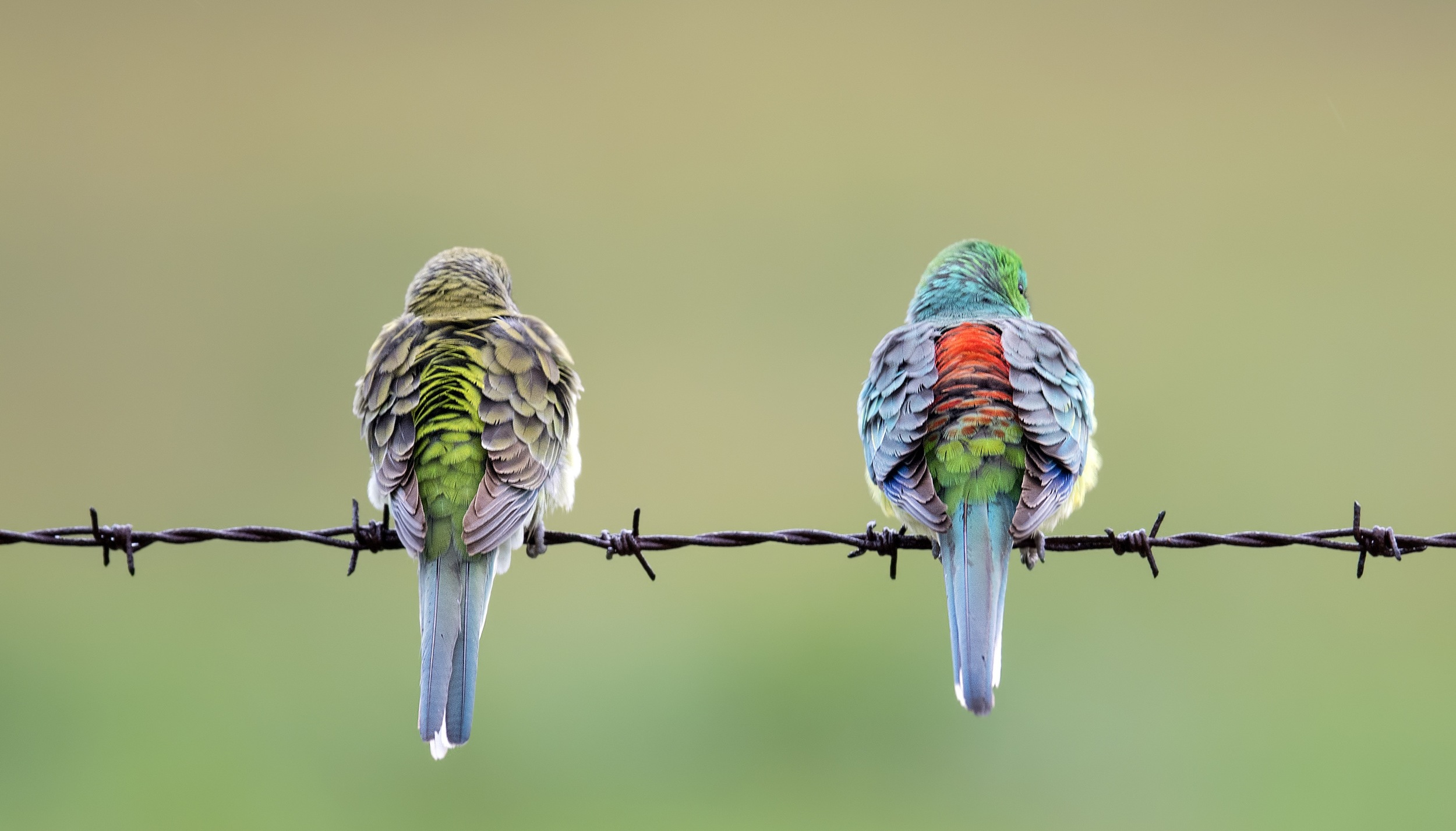 Red-rumped Parrots | Georgetown, SA
