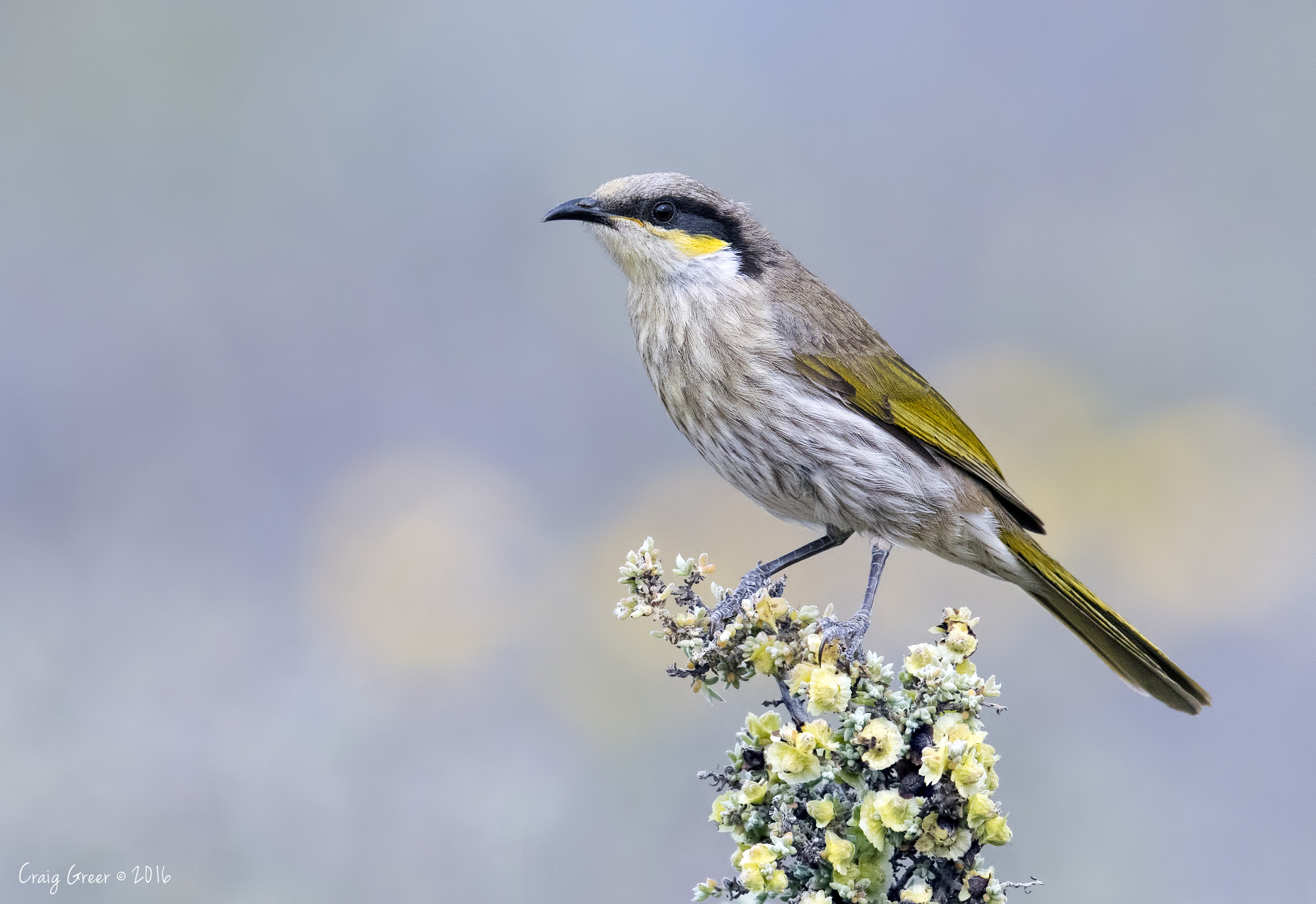 Singing-Honeyeater-Arid-Lands-31-07-16.jpg