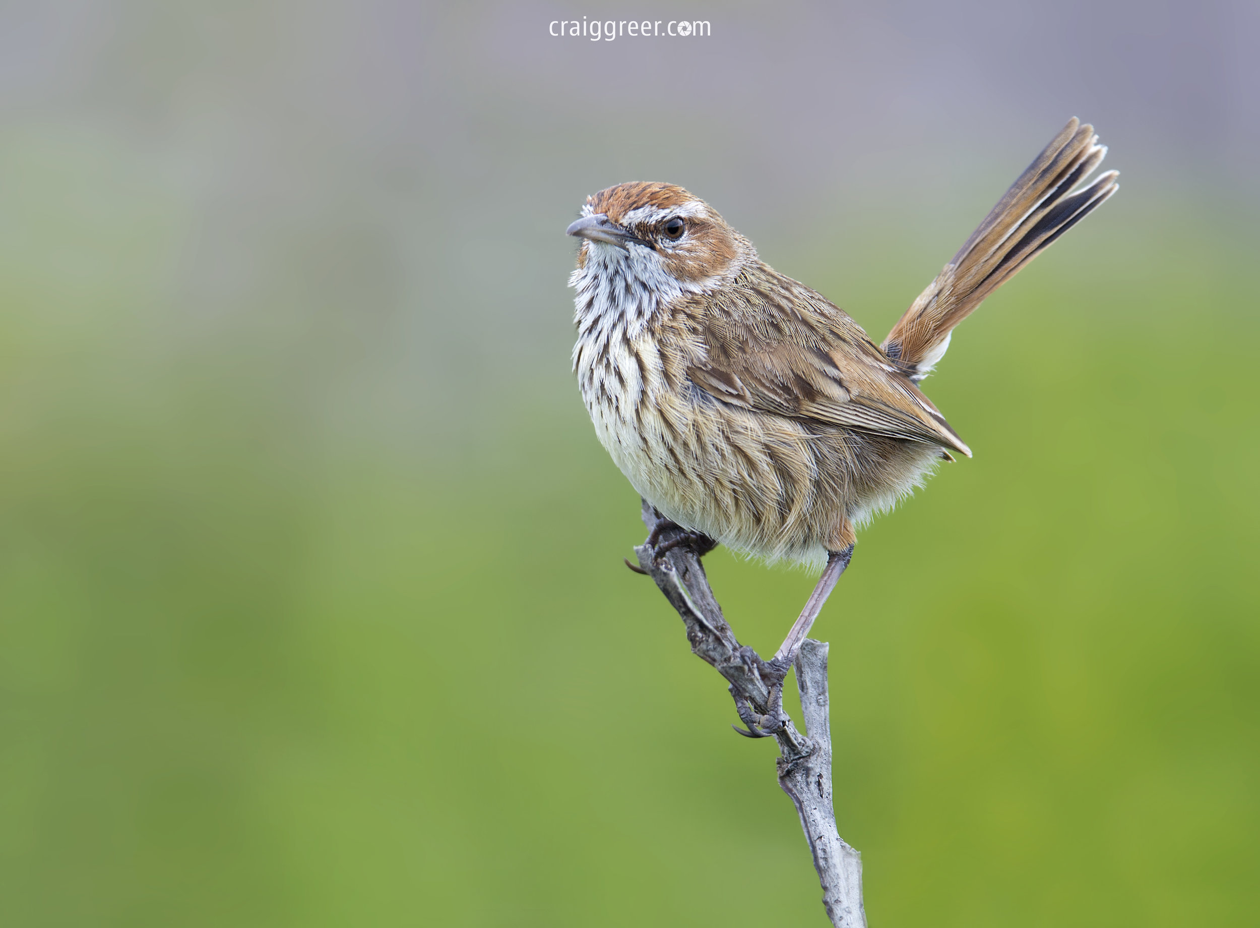 Rufous Fieldwren | Corny Point