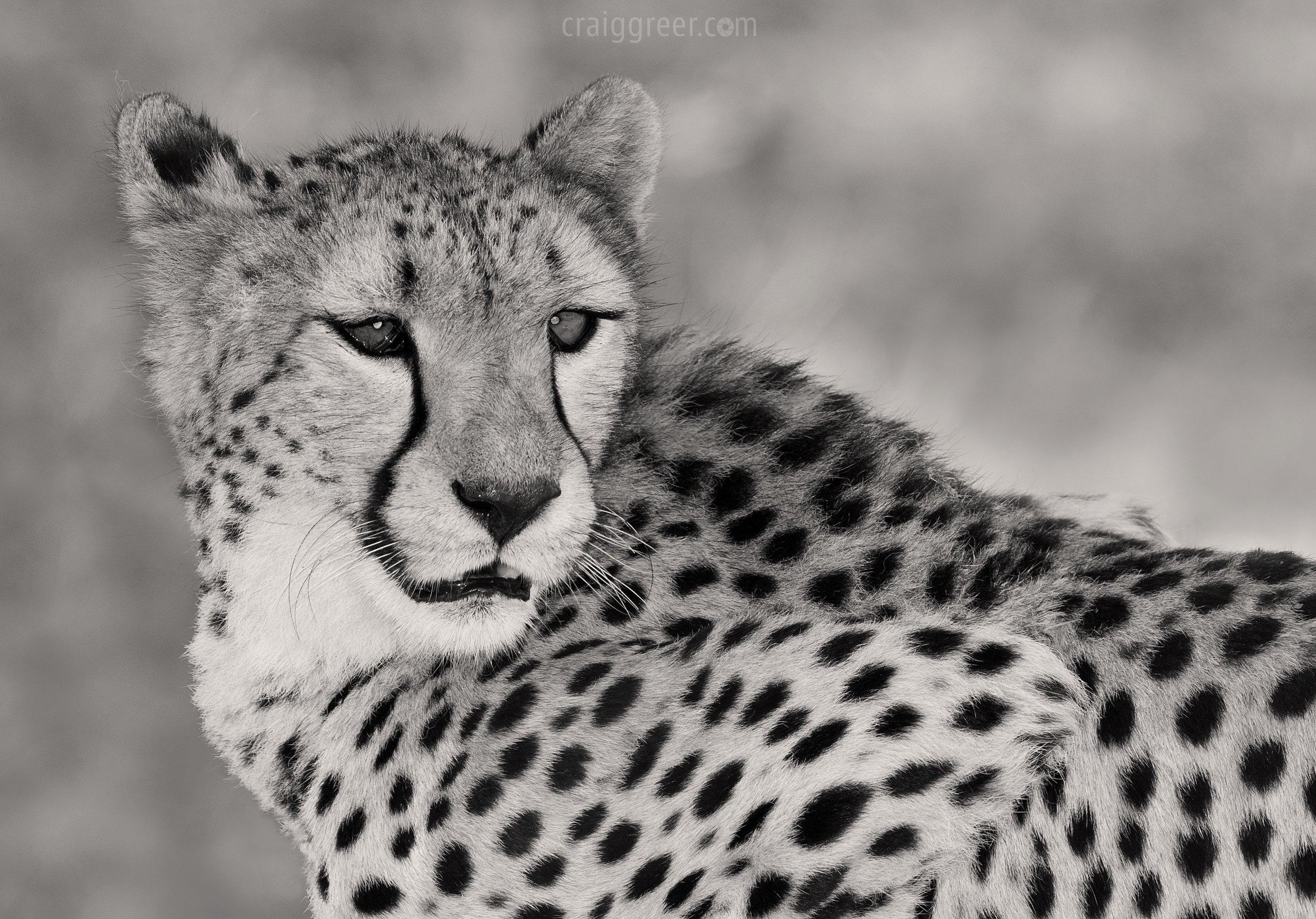 """Kawtile"", Cheetah | Monarto Zoo"