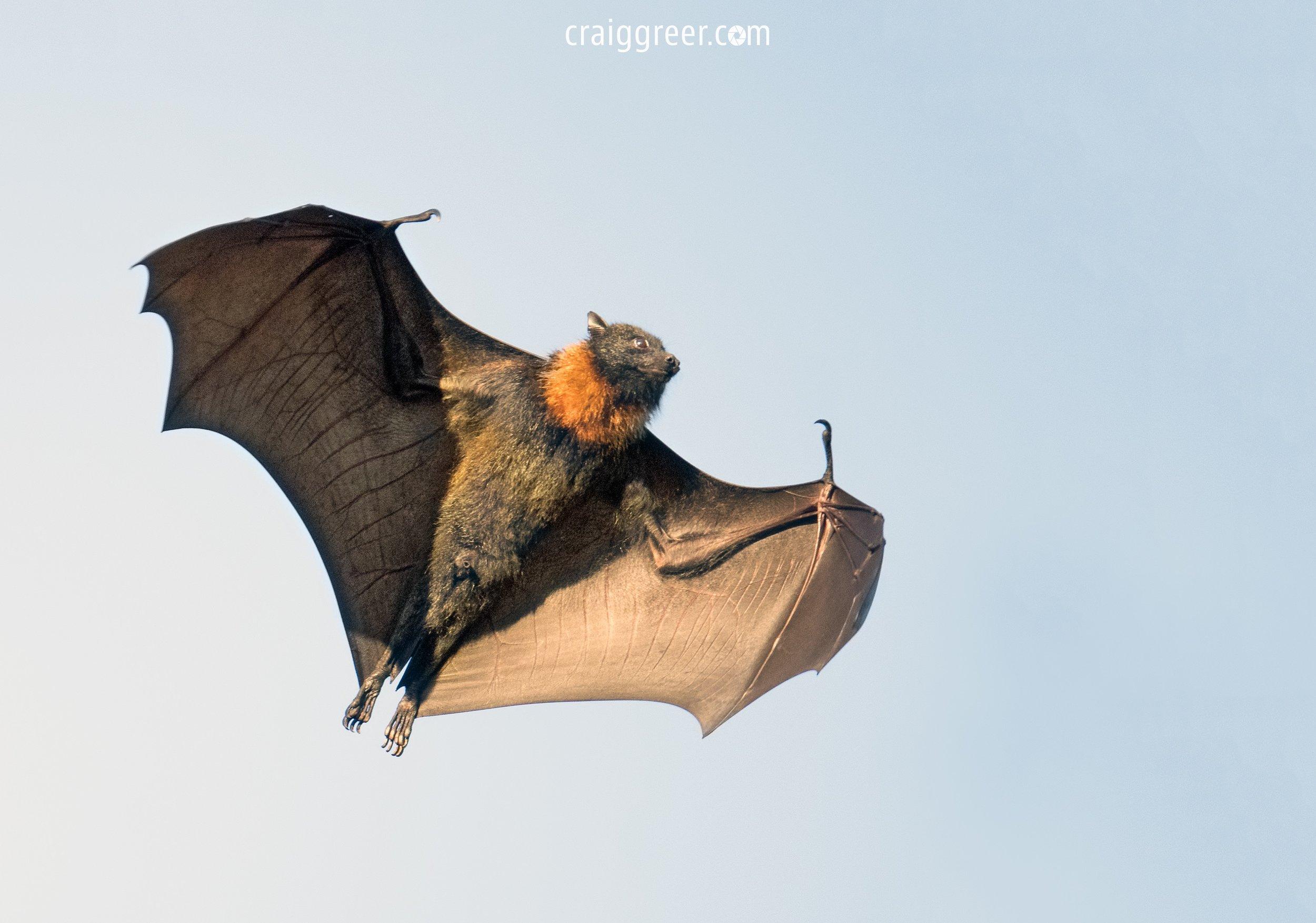 Grey-headed Flying Fox | Botanic Park