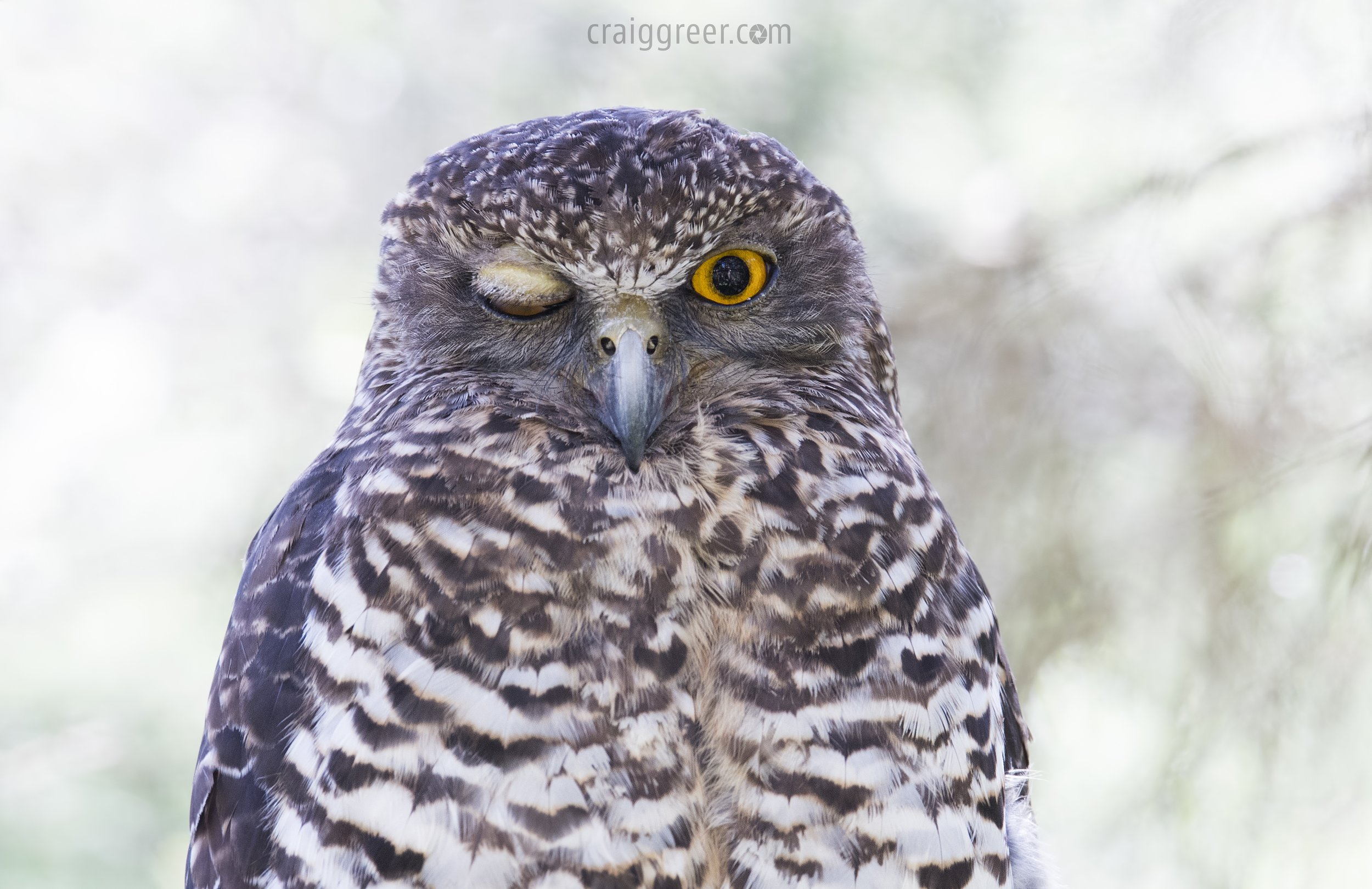 Powerful Owl | Shepherd's Bush