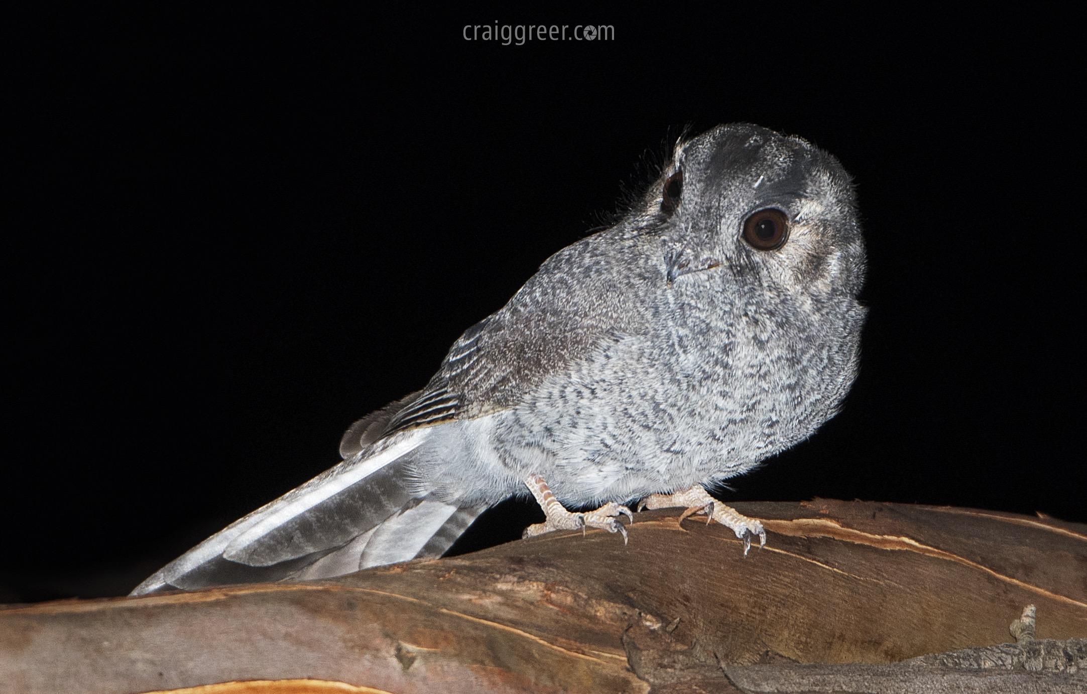 Australian Owlet-nightjar | Dublin