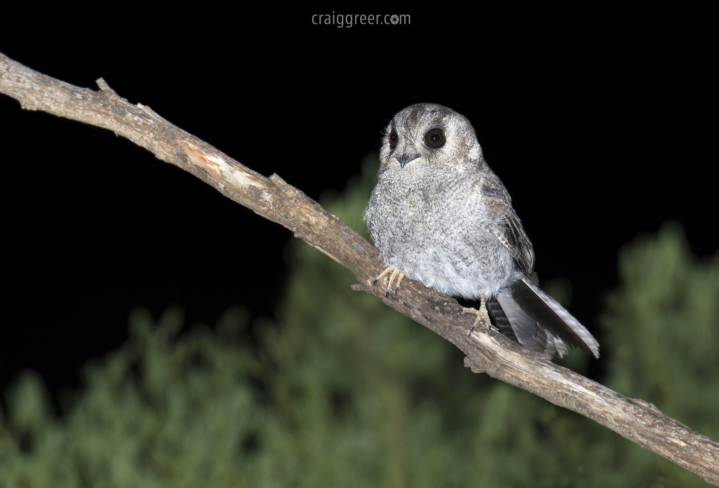 Australian Owlet-nightjar | Adelaide Plains