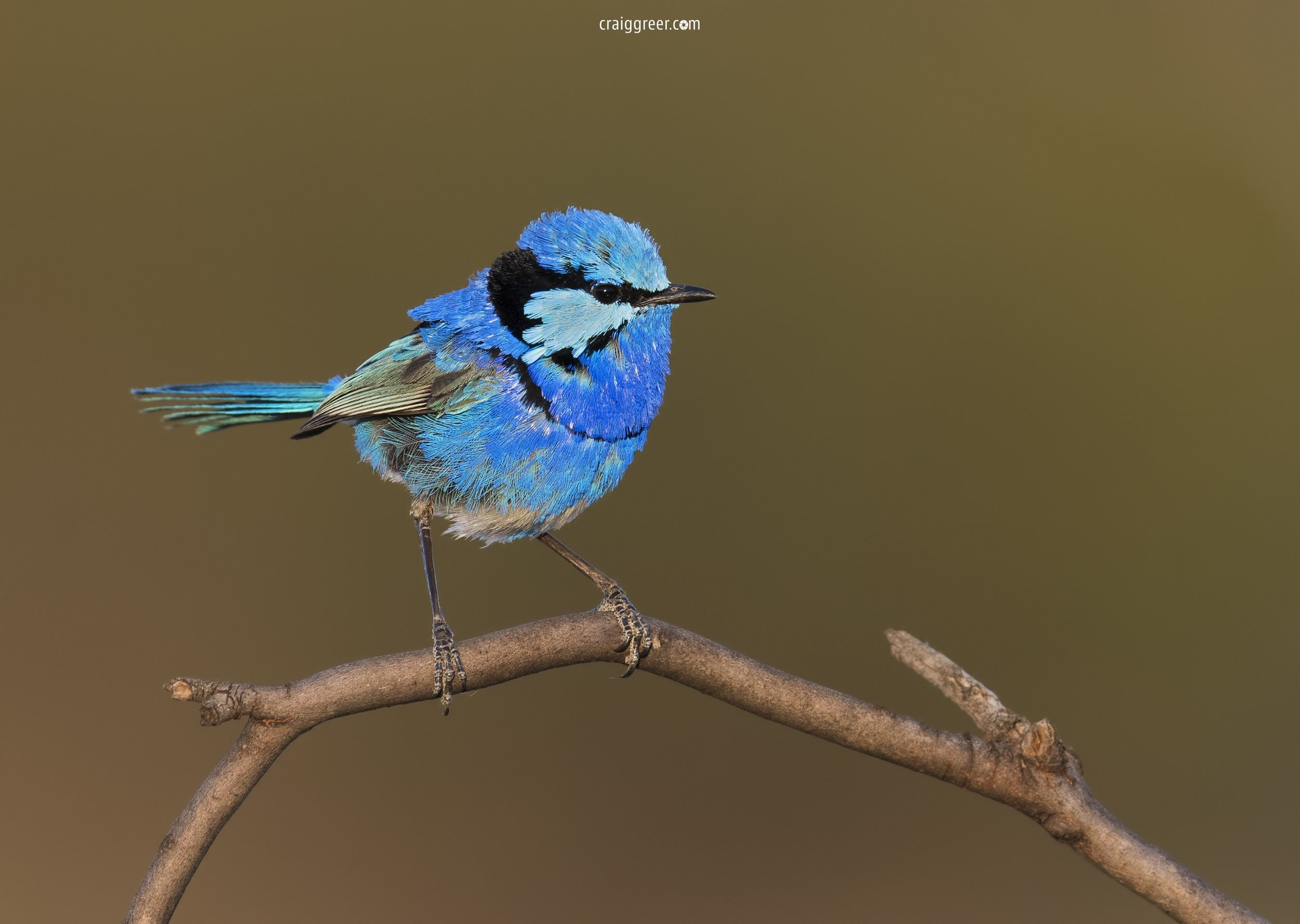 Splendid-Fairy-wren-Mt-Mary-16-12-17.jpg
