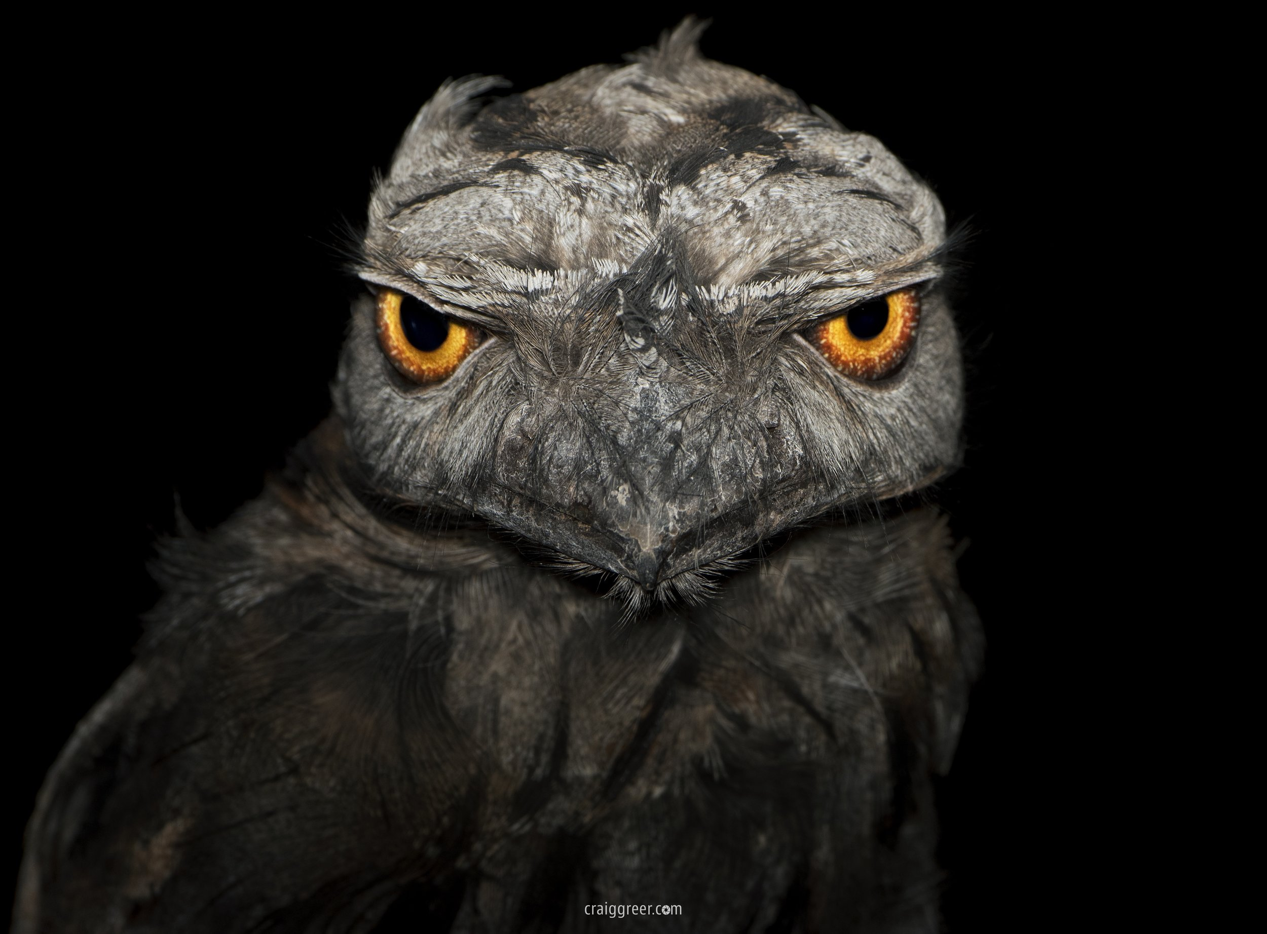Tawny Frogmouth | Freeeling