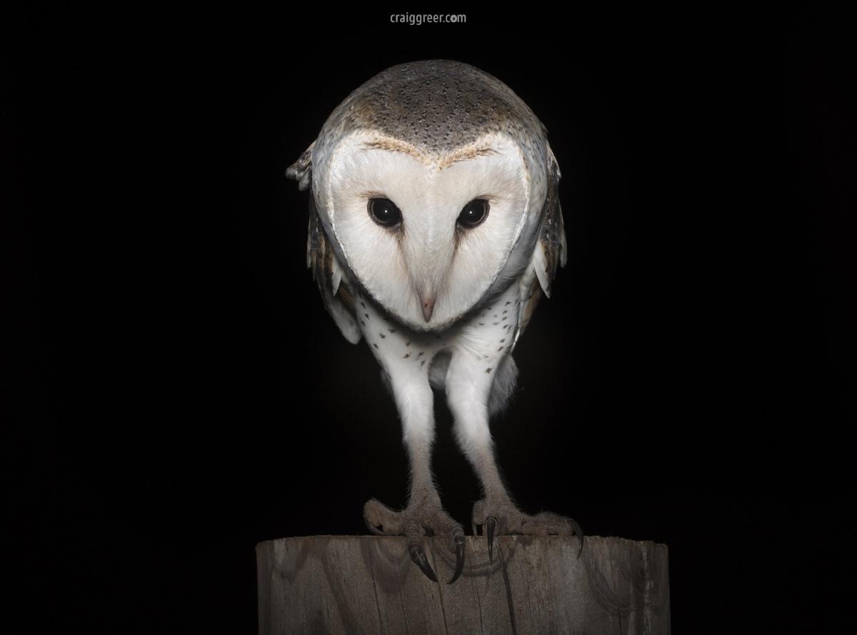 Eastern-Barn-Owl-Templers-2-24-03-18.jpg