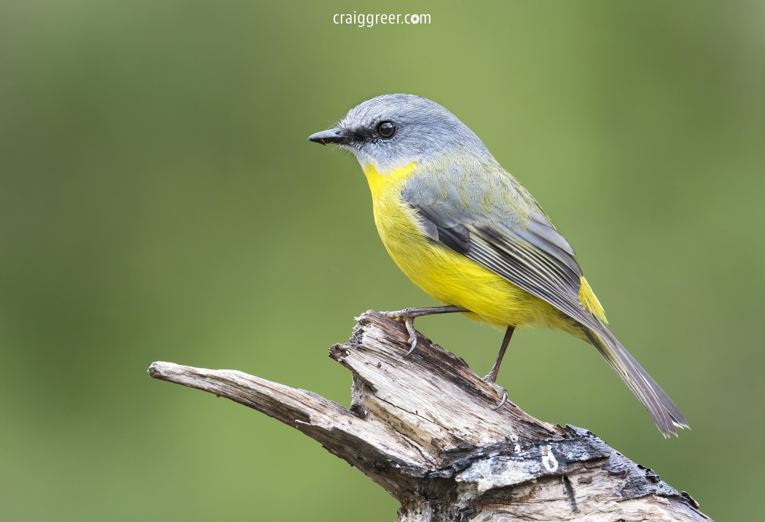 Eastern Yellow Robin | Lower Glenelg NP