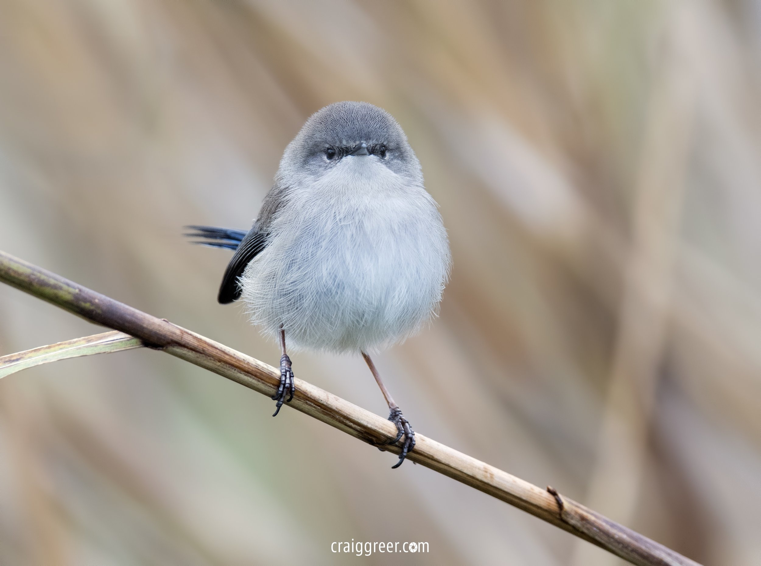 Superb Fairy-wren | Bool Lagoon