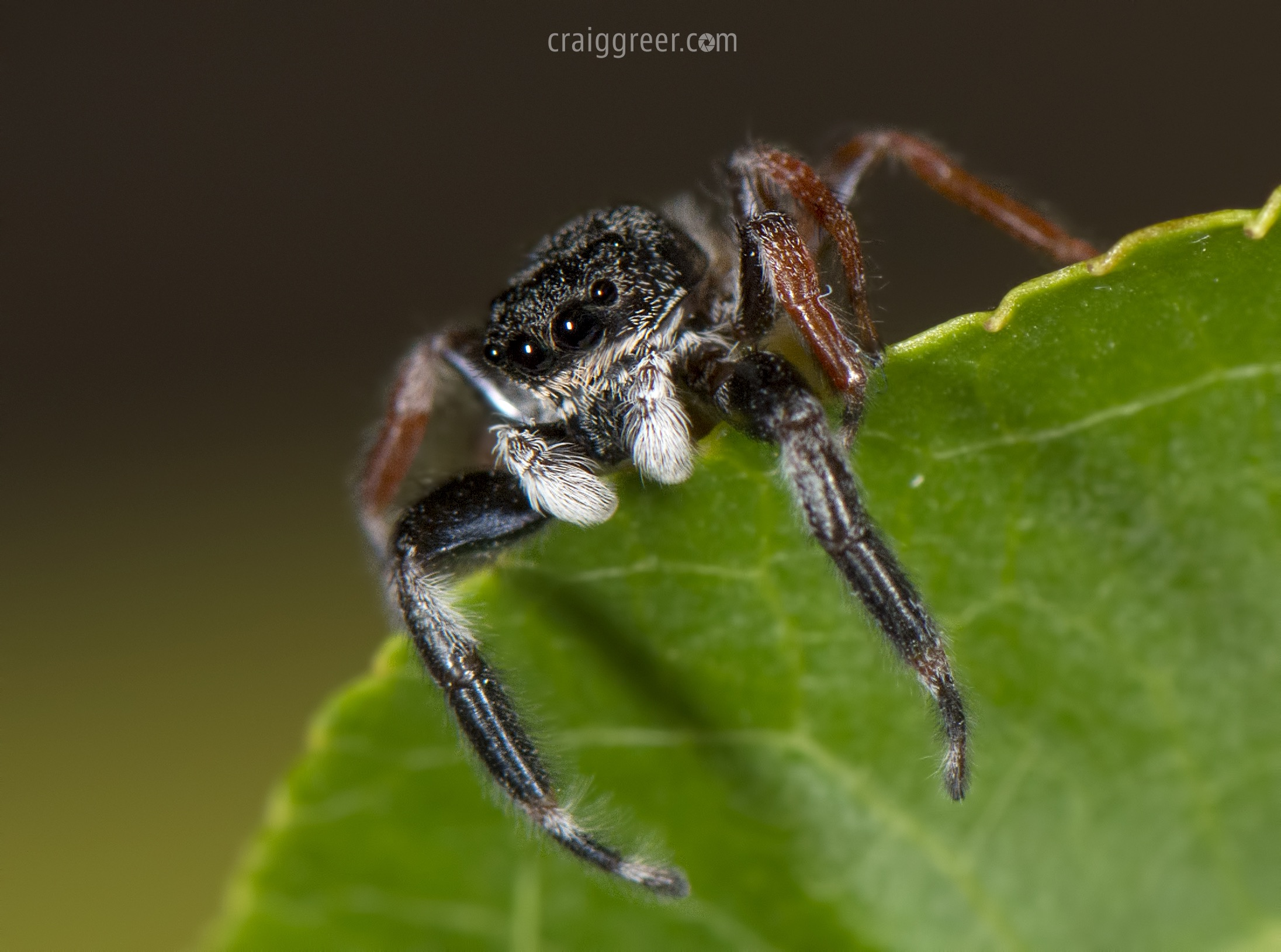 Jumping Spider | Adelaide