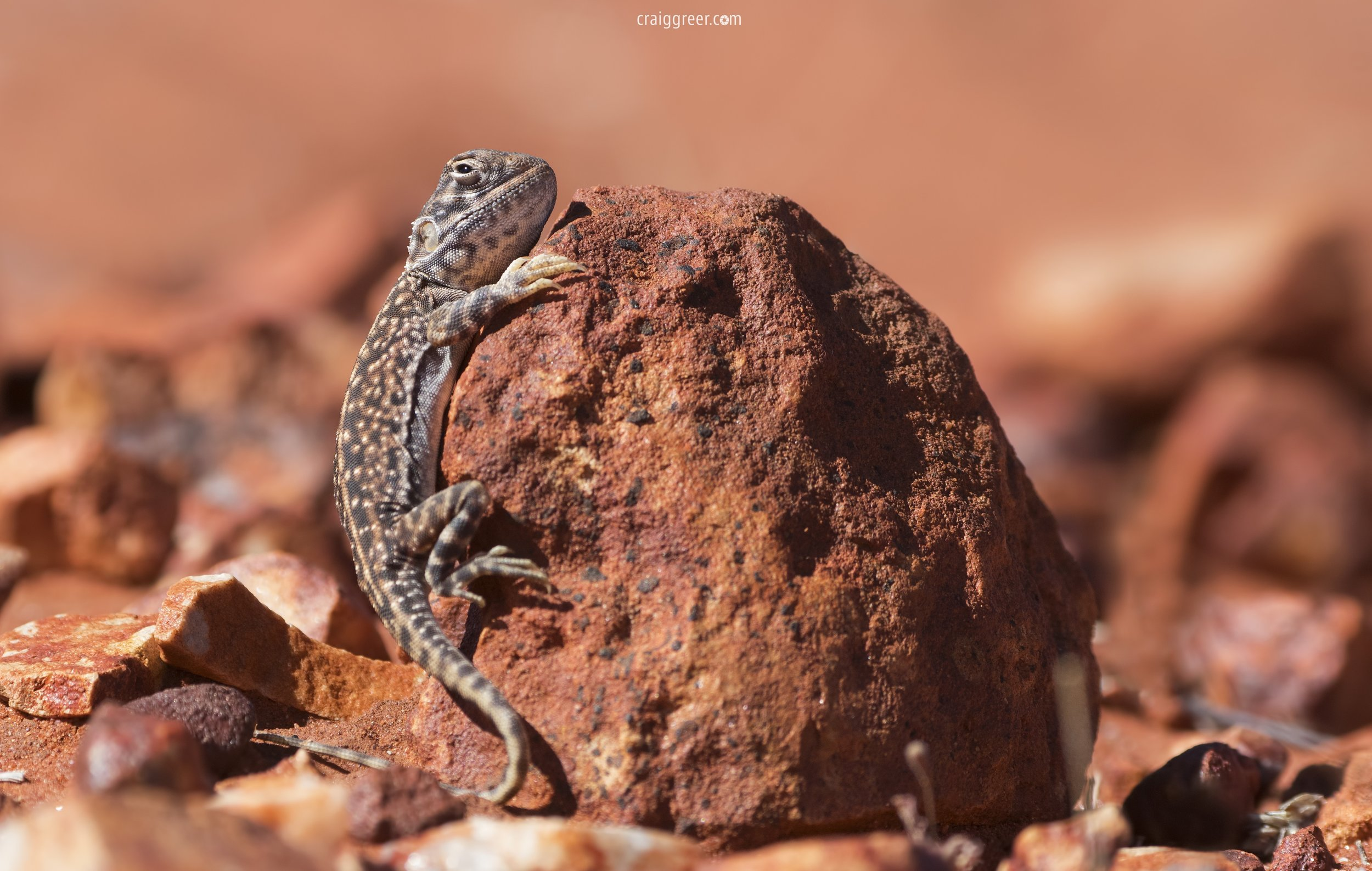 Central Netted Dragon | Alice Springs