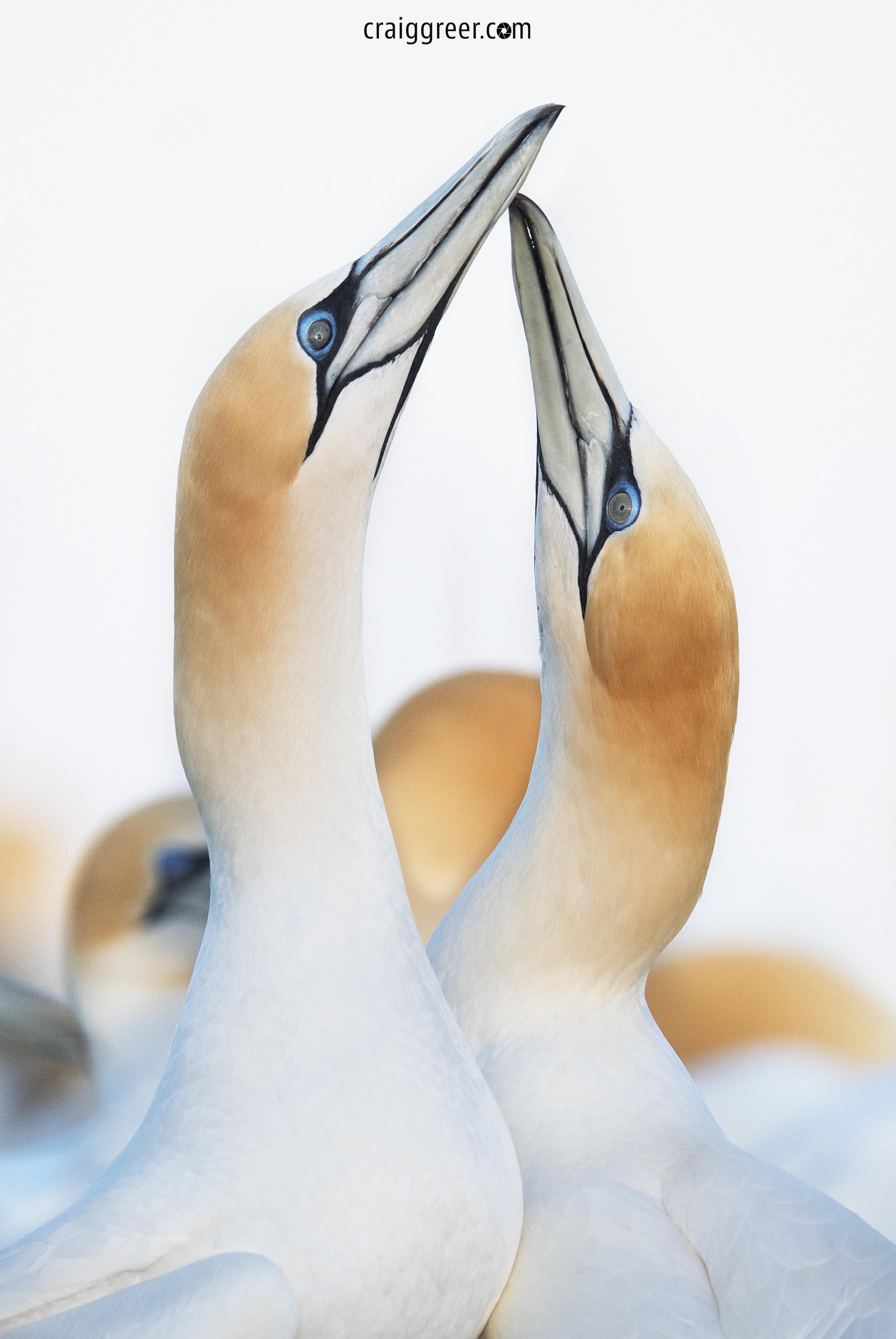 Australasian-Gannet-Point-Danger-01-10-18.jpg