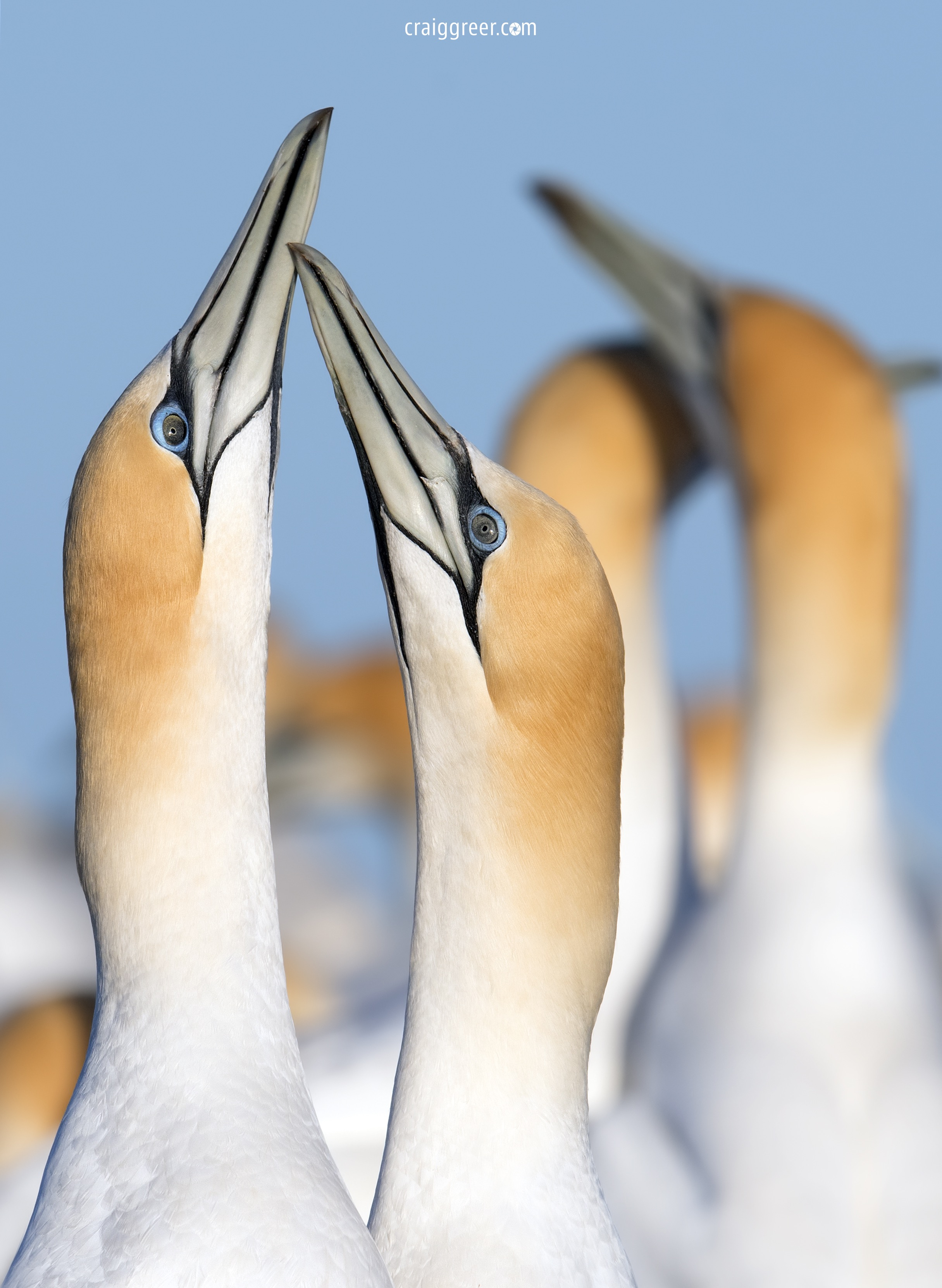 Australasian-Gannets-courting-Point-Danger-01-10-18.jpg