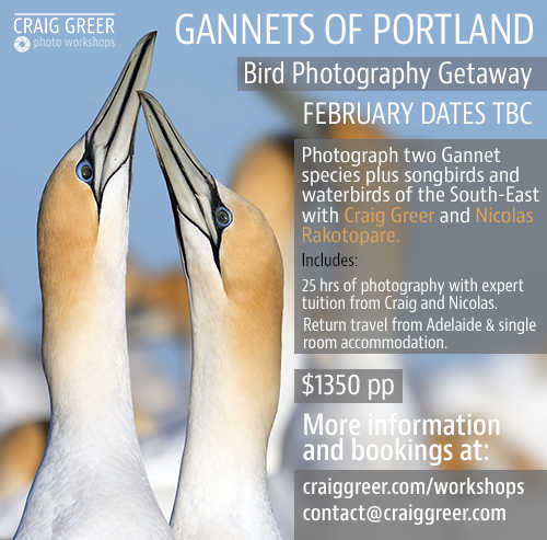 Gannets-of-Portland-FEBRUARY-500px.png