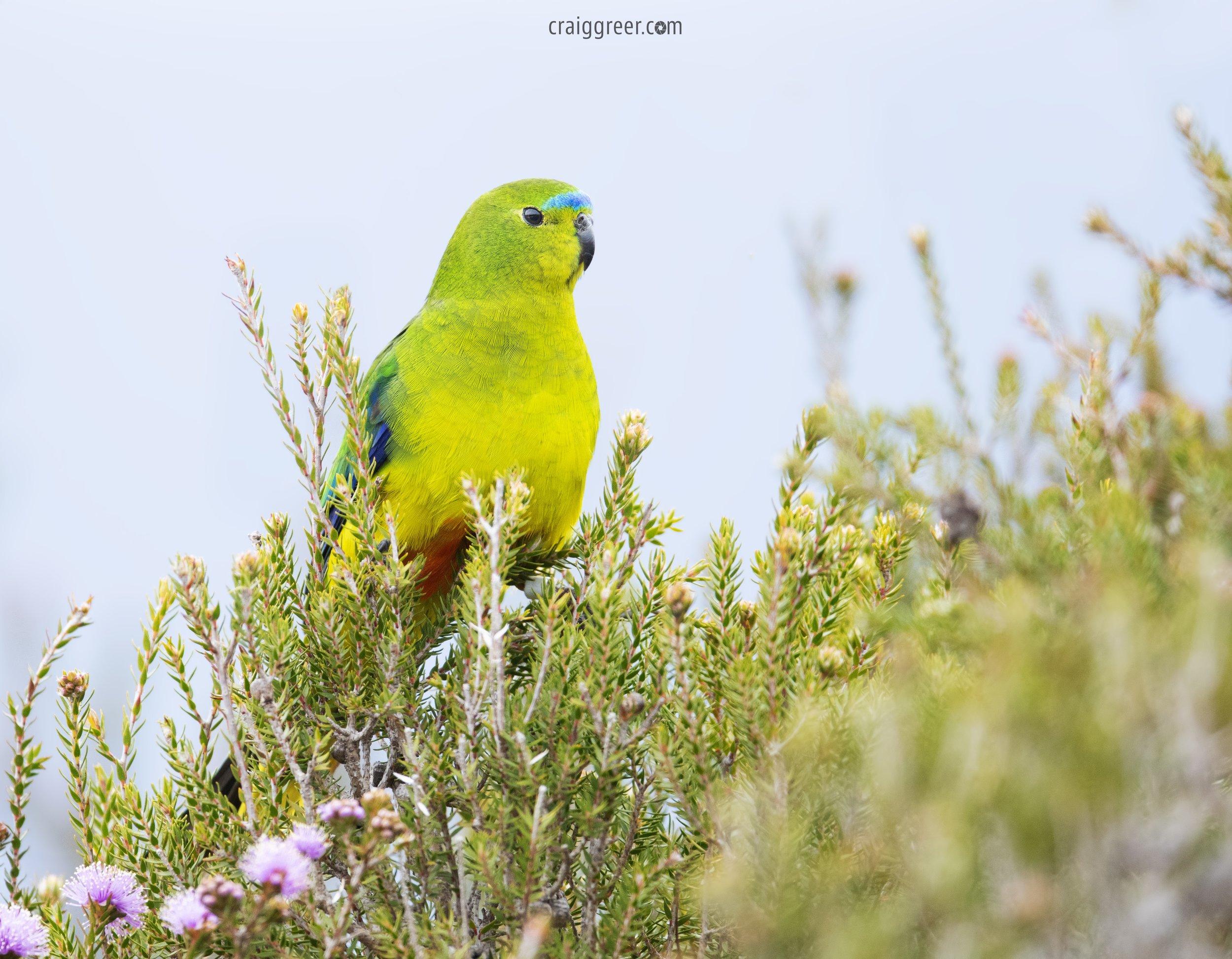 Orange-bellied-Parrot-Melaleuca-16-11-18.jpg