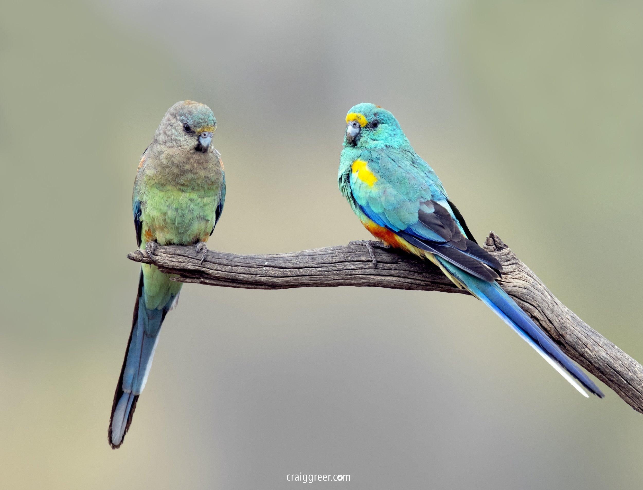 Mulga-Parrots-Gluepot-Reserve-Whistler-Hide-29-10-18.jpg