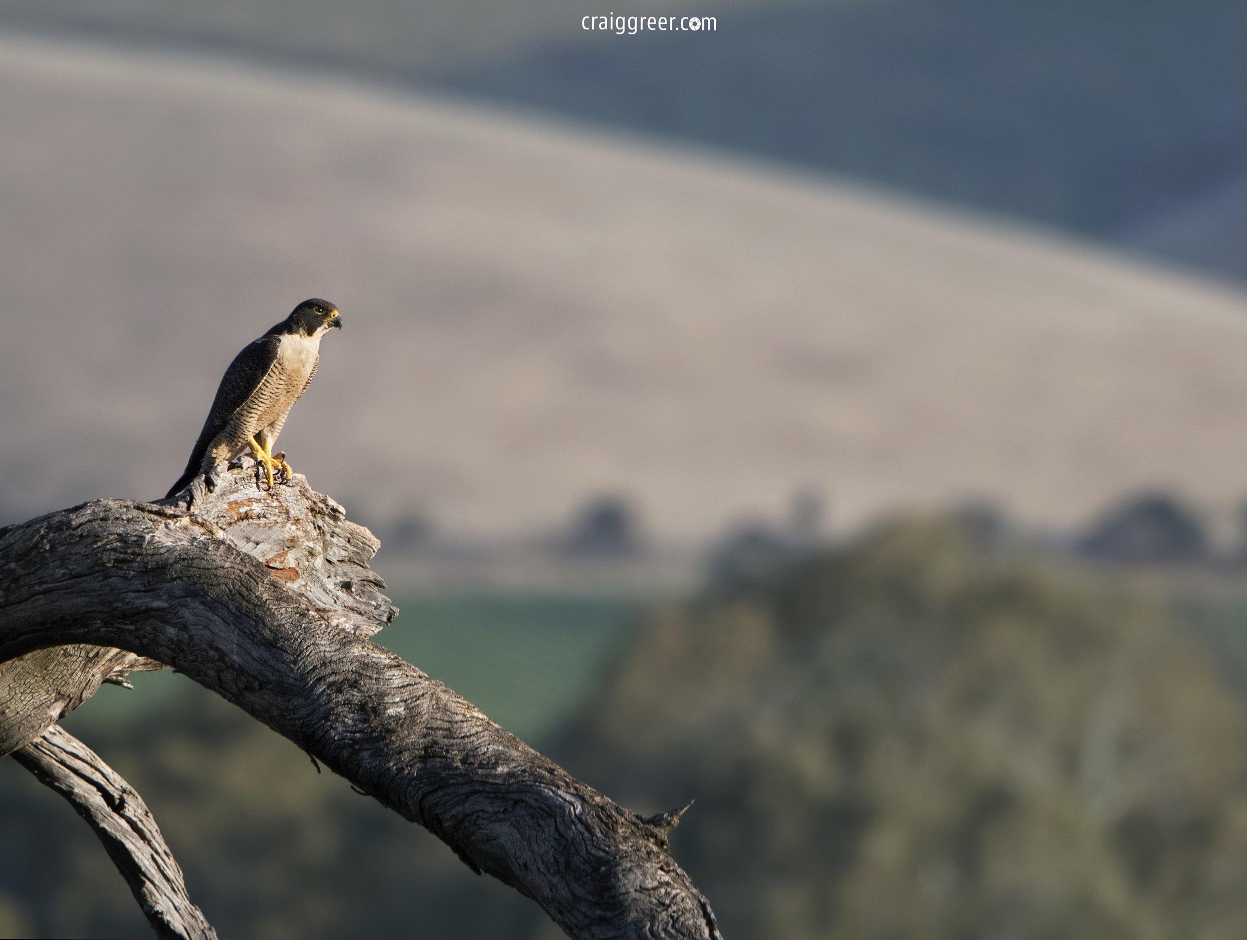 Peregrine-Falcon-wide-30-10-18.jpg