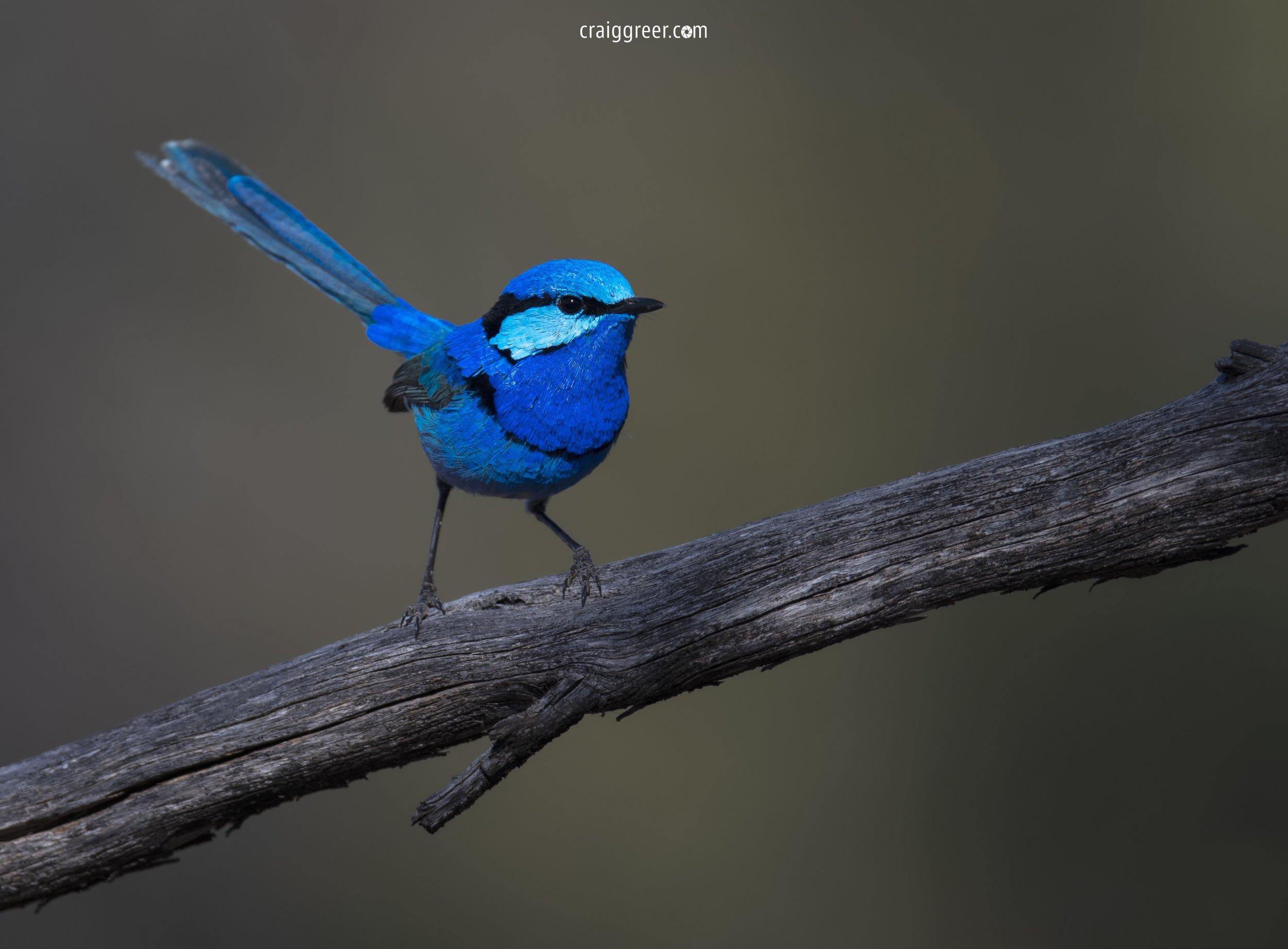 Splendid-Fairy-wren-Gluepot-Sitella-Camp-26-10-18.jpg