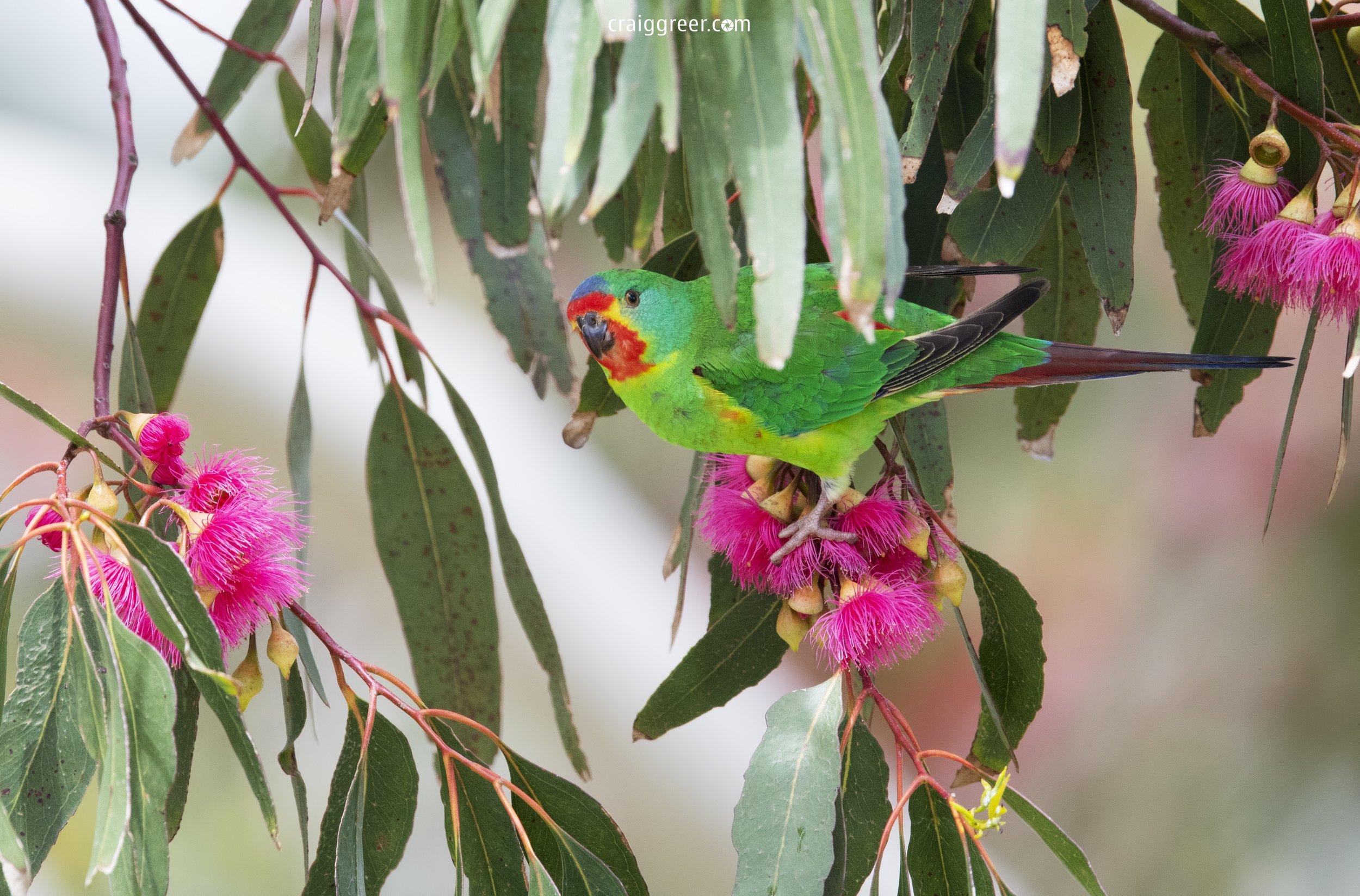 Swift-Parrot-Adventure-Bay-Bruny-Island-13-11-18.jpg