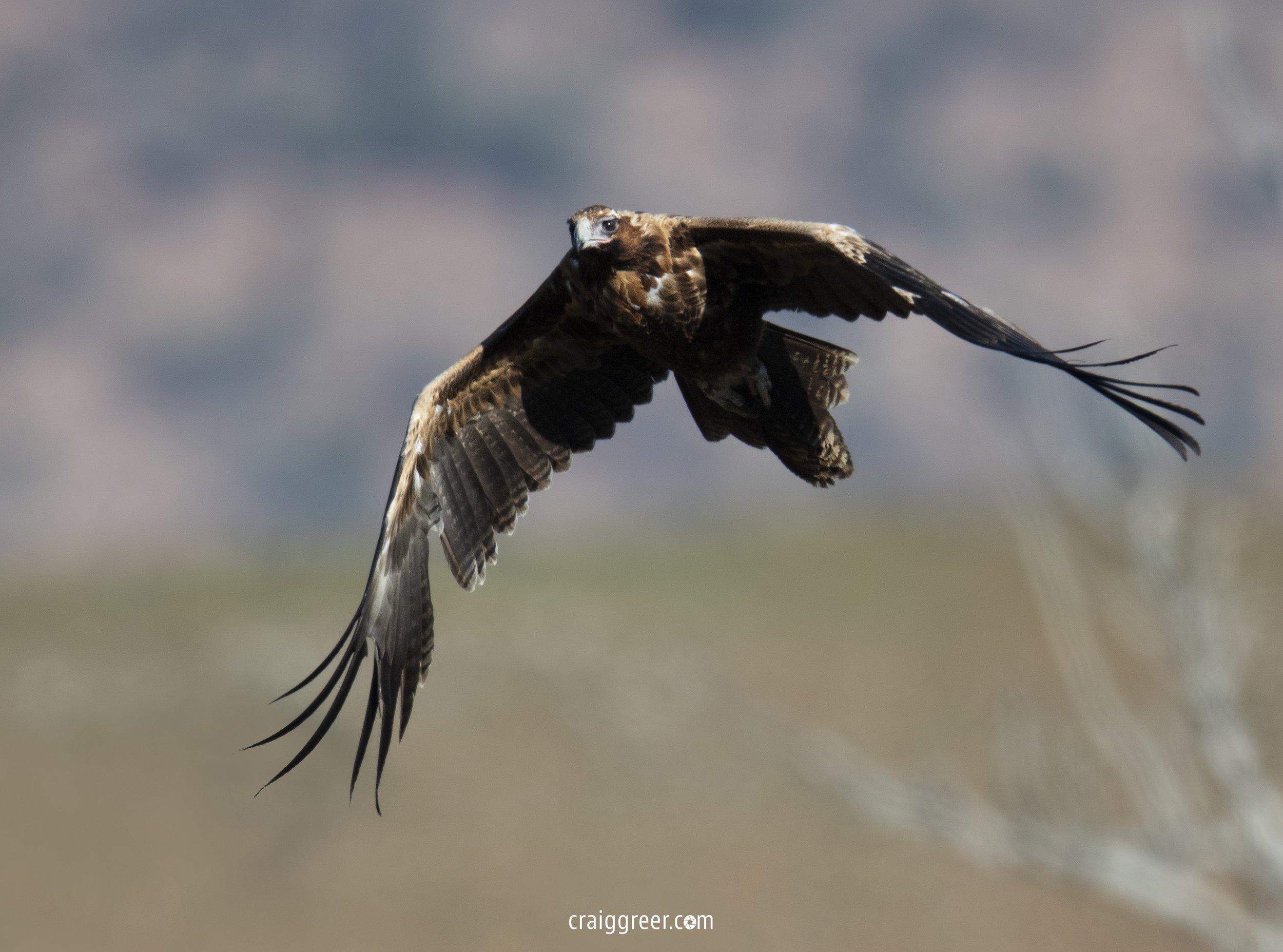 Wedge-tailed-Eagle-Elder-Range-03-09-18.jpg