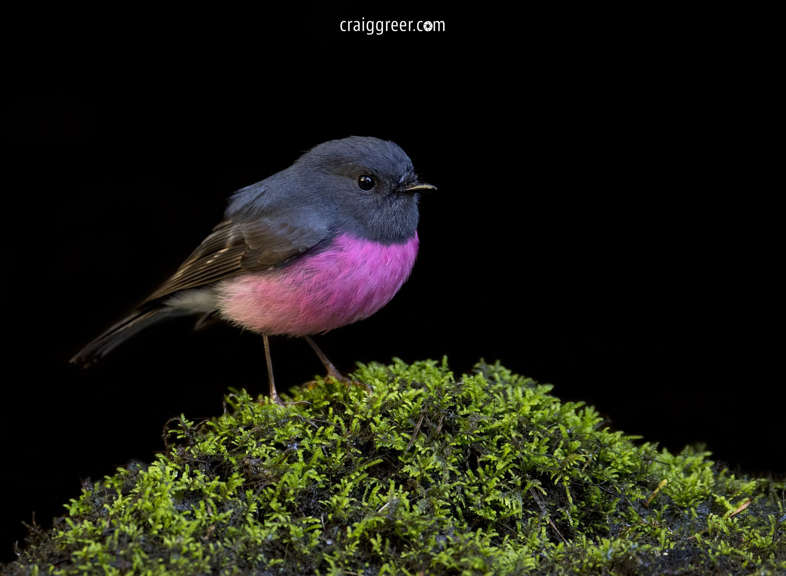 Pink-Robin-Hopetoun-Falls-08-11-18.jpg