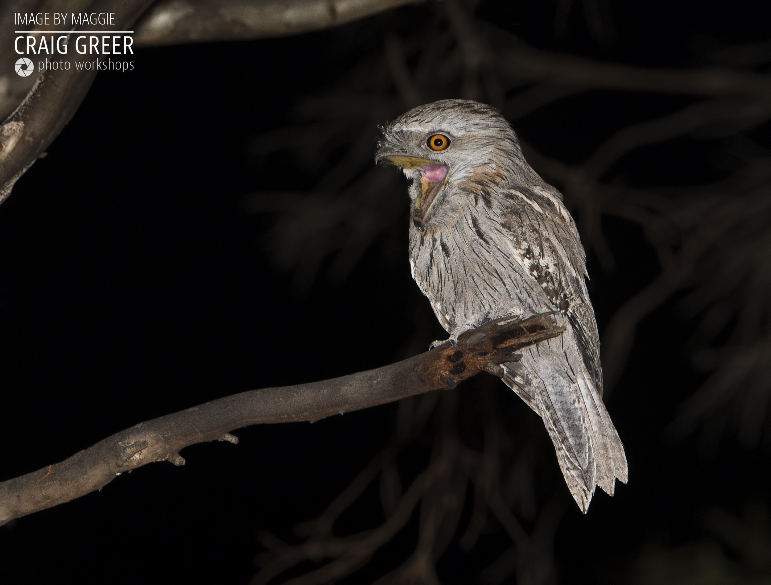 Tawny-Frogmouth-Tanunda-Maggie-04-01-19.png